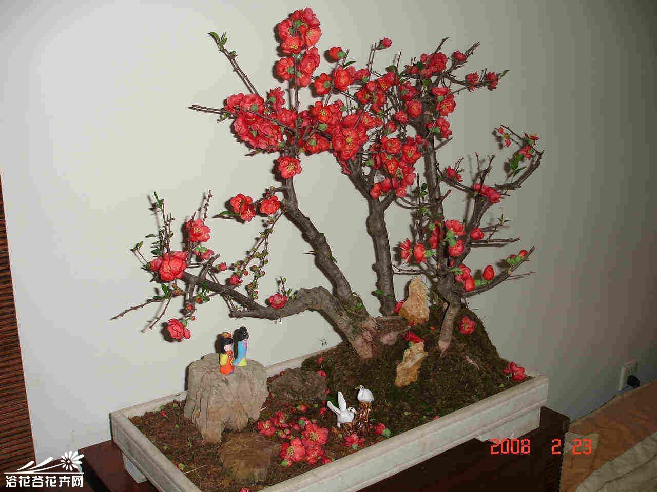 贴梗海棠盆景图片