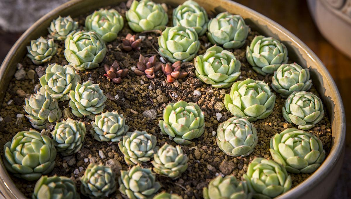 """If you are looking for an indoor gardening project that is cool, easy and just a little bit trendy, cactus and succulent projects are for you! Here we found for you some great inspiration and tutorials to help you bring the modern vibe to any room of your home. Did we mention, they are really easy to take care of, too? So if your thumb is brown, that's ok… these plants and projects are just for you! Our featured project above and below, is from Cassidy at 'Succulents and Sunshine'. Oh my, these are cute! These DIY painted planters are perfect little accents, and the succulents are really easy to grow. While you are there checking out her tutorial, be sure to check out her e-book, """"How to Grow Succulents Indoors"""". Then you will be an expert too!   FromBrittni Mehlhoff via 'Curbly', these DIY metallic planterstook her 5 minutes to make. Cactus and succulents always look better when displayed in a cool pot… Simple, fast, easy!   Want to do a project that is a bit more traditional? Learn how to make an indoor succulent dish garden from Manuela at 'A Cultivated Nest'. Pretty way to use those dishes that aren't very practical, but too gorgeous to get rid of!   Again from Cassidy at 'Succulents and Sunshine', these miniature succulent bird cages look like so much fun to put together, and can be whimsical or traditional… Ok, and they are just so sweet! Find out just how to make them.   Looking for a simple cacti garden? Elsie at 'A Beautiful Mess' has you covered, and teaches you all about getting it done. Pretty colors on these desert plants!   Need a little """"Zen""""? Put down those adult coloring books, and try out this bright and cheerful Zen garden from Allison at 'Dream a Little Bigger'. Step by step photos, and you gotta love that color! Perfect for your desk, right? That's what I was thinking'…   Don't want to figure it all out yourself? We found this Zen terrarium kit at the Etsy shop 'Wendiland'… When we checked, this wasn't available, but others like it were!   From """