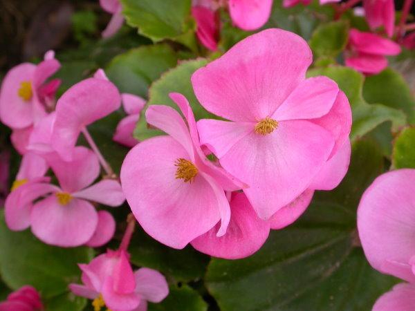 9月10日の誕生花 9月10日の誕生花は、「シュウカイドウ(秋海棠)」です。  中国からマレー半島にかけて自生し、毎年咲く草花でベゴニアの一種です。8~10月頃に、左右大きさが違うハート形の葉のわきから紅い花茎を伸ばし、下向きに咲く淡いピンク色の花を咲かせます。シュウカイドウは、日本各地で半野生化していることから日本原産だと思われがちですが、江戸時代に中国からきた帰化植物と言われ、その頃から、秋の季語として松尾芭蕉らの歌にも頻繁に登場していました。  シュウカイドウ(秋海棠)について科・属シュウカイドウ科シュウカイドウ属(ベゴニア属)英名hardy begonia学名Begonia grandis Dryand.原産地中国~マレー半島開花時期8月〜10月花名の由来  名前の由来は、中国名の秋海棠の音読みにしたもので、春に咲くハナカイドウ(花海棠)に良く似た色の花を秋に咲かせる事から名付けられました。 シュウカイドウ(秋海棠)の花言葉と由来 シュウカイドウ(秋海棠)の花言葉は、「片思い」「恋の悩み」。  「片思い」は、ハート形の葉が左右対象ではなく、片方が少し歪んでいる事からきています。また、花の印象から悩みを抱えているように見える事から「恋の悩み」と付けられました。葉裏には赤いタイプや白花を咲かせるタイプがあり、花には雄花と雌花があります。  シュウカイドウの種類 品種改良されたシュウカイドウには、全体的に小さく、薄いピンク色を帯びた白い花が咲く「シロバナシュウカイドウ」が知られています。他の改良品種には7月ころから花を咲かせる早咲き種や、純白の花を咲かせる品種もありますが、種類は多くありません。シュウカイドウは元々変異の起きにくい植物で、その点では品種改良はしにくいようです。日本に自生する種としては、沖縄県の八重山諸島に分布しているコウトウシュウカイドウとマルヤマシュウカイドウがあります。  最近では同属の多くの種が持ち込まれており、園芸用として栽培され、それらは主に「ベゴニア」と呼ばれてはいますが、シュウカイドウは古くから定着した(江戸時代に中国からきた)帰化植物として、ベゴニアとは呼ばれていません。
