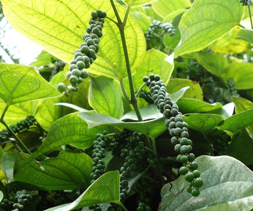 """Learn how to grow black pepper (peppercorn), growing it is difficult but you can try this. Black pepper is the most popular, most expensive and most essential spice of the world that much pricey that it is also called """"Black Gold"""". USDA Zones— 10 – 11  Difficulty— Hard       Other Names— Blanc Poivre, Extrait de Poivre, Grain de Poivre, Hu Jiao, Kali Mirchi, Kali Mirch, Kosho, Krishna, Marich, Maricha, Pepe, Pepper, Pepper Extract, Pepper Plant, Peppercorn, Pfeffer, Pimenta, Pimienta, Pimienta Negra y Pimienta Blanca, Piper, Piper nigrum, Piperine, Poivre, Poivre Noir, Poivre Noir et Blanc, Poivre Noir et Poivre Blanc, Poivrier, Vellaja, White Pepper. Growing Conditions for Black Pepper Pepper plant is native to South India, and is extensively cultivated there and other tropical regions like Brazil, Myanmar and Indonesia. Pepper plant is tropical, moreover, it grows mostly in the Southern states of India and these states have very humid climate (almost 90% of pepper cultivation of the world done there). It means black pepper loves extremely humid climates where temperature never falls below 60 F (16 C). It is a vine with beautiful heart-shaped leaves (like betel leaf), it grows on a support from hanging aerial roots and produces small spike like white flowers in summer before setting fruits. How to Grow Black Pepper PlantPropagation Sowing pepper seeds can be done, but only fresh seeds are germinated, seeds are viable for very short period.  To propagate it from seeds fill the container with a quality potting mix that contains a good amount of organic matter. Use your finger to poke three holes, each 1/2 inch deep and about 1 to 1.5 inches apart. Drop a seed in each hole, then cover it with soil. Water the seeds often and keep the soil moist.  Pepper corn can also be propagated from cuttings. Planting Mix compost and sand to soil before planting. Make hole in soil and plant the seedlings or plants at the same depth as it was grown in previous pot. Pack the soil firm"""