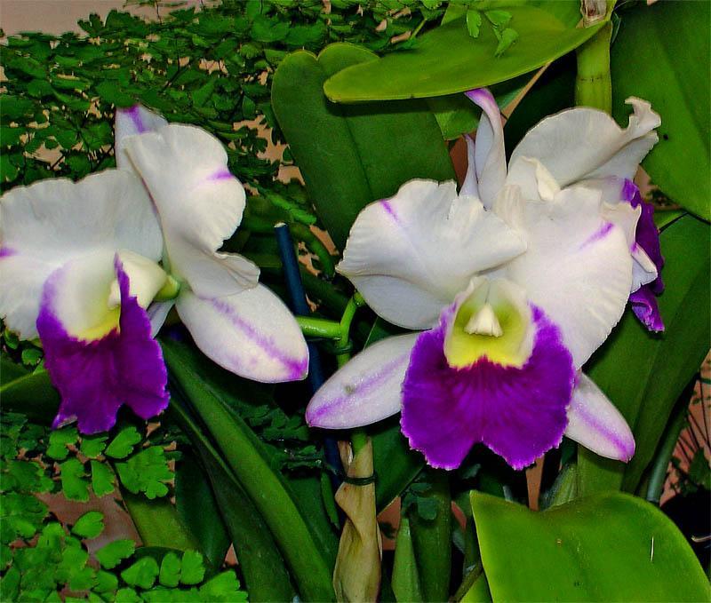 不少朋友都有个习惯,下雨的时候,喜欢把花盆搬到外面,让花淋淋雨,一则让花儿洗个澡,二则是吸收点氮肥——不是说雷雨发庄稼嘛!做法不错,但并非适合所有的花卉。   不适合在夏季淋雨的盆花主要有以下几类:  第一类是怕涝的花卉:这些花卉耐旱怕涝,夏季淋雨后花盆内容易积水,若不及时排除盆内的积水,土壤中的水分较多,盆土会严重缺氧,就使得造花卉根部缺氧死亡。  (1)仙人掌类、多浆类。这些花卉耐旱怕涝,诸如仙人球、芦荟、令箭荷花、落地生根等,如果盆土雨淋久湿,最易叶腐、根烂。  (2)肉质根类、球根类。如兰花、牡丹、芍药、君子兰、大丽花、大岩桐、吉祥草、仙客来、鹤望兰等,往往淋雨后过涝造成死亡。  (3)有些木本花也很怕涝灾,如梅花、寿桃、桂花、杜鹃、蜡梅、三角梅、南洋杉、巴西木、金边瑞香和海棠类等等。如被水渍几天,就会有危险。  第二类是夏季进入休眠或半休眠状态的花卉。进入休眠或半休眠状态的花卉盆土不能过湿。在炎夏处于休眠或半休眠,不发叶、不开花的花卉,如郁金香、倒挂金钟、仙客来、天竺葵、四季海棠、水仙等要少浇水,更不能淋雨。  第三类是叶面或花芽对水湿非常敏感的花卉。有些花卉对水湿特别敏感,不宜往植株上喷水。大岩桐、荷包花、蟆叶秋海棠等花卉,其叶片上生有密集的绒毛,落上水后不易蒸发,常易引起叶片腐烂,所以不宜淋雨。仙客来球茎的叶芽,非洲菊叶丛中的花芽,君子兰叶丛中央的假鳞茎,都怕水湿,因水湿过多而腐烂,这类花卉也要防雨淋。