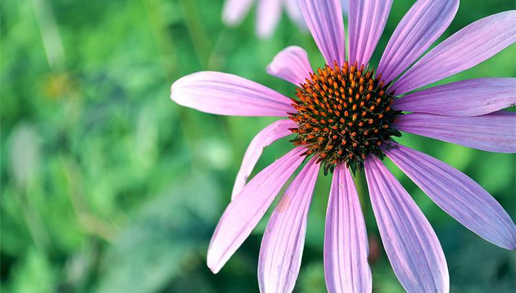 庭院花事安排    适于庭院陈列的花卉种类6月份,全国大部分地区的月平均气温在24℃至26℃之间,进入初夏时节,江淮流域进入梅雨季节。本月可于庭院中陈列的观赏植物为一些抗性较强的盆栽花木,种类有:月季、南洋杉、五针松、罗汉松、黑松、锦松、白皮松、华山松、云杉、日本冷杉、苏铁、加拿利海枣、棕竹、南美铁树、四季桂、散尾葵、国王椰子、酒瓶椰子、美丽针葵、斑蔸树、垂枝榕、小叶榕、夹竹桃、栀子、巴西铁、发财树、荷兰铁、茉莉、珠兰、白兰、米兰、含笑、石榴、叶子花、象牙红、八仙花、棣棠、海仙花、变叶木、扶桑、紫薇、五色梅、虾衣花、鹅掌柴、阔叶十大功劳、八角金盘、洒金桃叶珊瑚等。草本植物则有:彩叶草、勋章花、金莲花、凤仙花、凤梨类、红鹤芋、夏花卡特兰、萱草、地涌金莲、美人蕉、铁线莲、绿巨人、绿萝、龟背竹、春羽、小天使蔓绿绒等。     庭院花卉的繁殖 1.播种6月份可行播种繁殖的木本花卉种类有:苏铁、加拿利海枣、阔叶十大功劳、枇杷、蜡梅等。枇杷播种覆土不宜过厚,其种粒顶土能力差,约撒盖2厘米厚的细土即可,然后加盖稻草保湿。蜡梅果实成熟后,从其壶状果囊中脱出棕褐色的种粒,用冷水浸泡24小时,再将其埋于湿沙中催芽,约2周后种粒裂口露白时方可下地播种,播种行距15至20厘米、沟宽10厘米,沟深5至8厘米,覆细土2至3厘米,最后再覆稻草保湿,当约有50%的种粒出土后,分2至3次轻轻揭去覆草。6月份,可行播种的草花种类有小苍兰、四季报春等。     2.扦插6月份气温高、湿度大,是庭院内进行花卉扦插的最佳时节。适于在夏季进行嫩枝扦插的花木种类有:桂花、山茶、茶梅、含笑、紫玉兰、贴梗海棠、雪球、琼花、珊瑚树、西洋杜鹃、夏鹃、橡皮树、迎春、六月雪、石榴、木槿、茉莉、珠兰、栀子花、五色梅、叶子花、龙吐珠、罗汉松、红背桂、金丝桃、扶桑、夹竹桃、朱砂根、结香、变叶木、紫薇、海仙花、麻叶绣球、阔叶十大功劳、十大功劳、蜡梅、八角金盘、黄杨类、八仙花、一品红、红叶李。适于6月份进行扦插繁殖的庭院草花种类则有:一串红、千日红、金莲花、伞草、竹节海棠、彩叶草、孔雀草、万寿菊、红绿草、菊花、秋海棠类、香水草、爬山虎等。     下面以茶梅、日香桂、山茶花等为例,对夏插技术作一介绍。从6月上中旬开始到7月底,当新抽嫩梢达半木质化时,剪取作插穗,基质用黄心土、蛭石、珍珠岩等,最好用淋去碱性的砻糠灰与河沙以2∶1的比例拌和均匀的混合基质,插穗剪成长约10至15厘米的穗段,只保留上部的2至3片叶,下切口用500毫升/千克的1号生根粉药液浸泡10秒钟,取出后稍加摊晾,待药液中的酒精挥发后再行扦插。一般扦插入土深度约为穗长的1/2至1/3,株行距为3×8厘米,以叶片互不相遮为度。用喷壶浇透水后在苗床上架好竹弓,加盖塑料地膜保湿,四周用土块将地膜压严实,同时搭荫棚遮阴,以后维持床面不高于30℃的温度,始终保持床面湿润,雨天及时排去步道沟中的积水,一个月后即可大量生根。     3.嫁接6月份在庭院中,可用盆栽蜡梅实生苗为砧木,靠接优良品种蜡梅,但砧木最好不要用柳叶蜡梅,因其生长速度明显慢于接穗,容易导致上粗下细的不正常现象。以盆栽白玉兰或紫玉兰苗为砧木,靠接白兰花。以野蔷薇苗为砧木,芽接优良品种月季。6月底以当年育毛桃苗为砧木,芽接红叶李、碧桃、紫叶桃、寿桃等。以单瓣实生山茶苗为砧木,嫩枝嫁接山茶、茶梅。以实生玳玳苗为砧木,嫩枝嫁接玳玳。以流苏为砧木,靠接金桂、银桂。此外,还可在6月份进行牡丹的套芽换芽嫁接。     4.压条6月份在庭院中,可行压条繁殖的苗木种类有:杜鹃、八仙花、锦带花、夹竹桃、米兰、珠兰、红枫、茉莉、白兰花、橡皮树、蜡梅、桂花、山茶、含笑、雪球、琼花、金丝桃、迎春、梅花。     5.分株6月份在庭院中,可行分株繁殖的花卉种类有:肾蕨、马蹄莲(花后)、旱伞草、紫背万年青、银脉沿阶草、凤梨类、十二卷、一叶兰、吊兰、菖蒲、大叶麦冬、麦冬、葱兰、锦鸡儿、金丝桃。     庭院地栽花卉的管理1.移栽进入夏季,一些高大的花木,在不具备专业技术的条件下,一般不宜再行移植。但对一些体形较小的花灌木,在带好土球的条件下,仍可进行移植,种类如八角金盘、十大功劳、金丝桃、金钟、迎春、栀子花、金边女贞、红叶小檗、红花?A木、黄杨类、石榴、木槿、紫荆、月季、绣线菊、夏鹃、金边千头柏等,较之于春季移栽,要更多地删去一些枝叶。另外,高度在2米左右的山茶、含笑、桂花、女贞、杜英、雪松、蜀桧、龙柏等,只要带好大土球,不伤及根系,同时剪去一部分枝叶,栽后加强喷水和遮阴管理,在梅雨期也可以进行移栽。6月份可在庭院花坛中移栽定植的草花种类有:醉蝶花、凤仙花、几内亚凤仙、万寿菊、孔雀草、长春花、一串红、龙口花、鸡冠花、千日红、小丽菊、百日红等。     2.整形6月份,对月季开花后的残枝,可进行缩剪。庭院中
