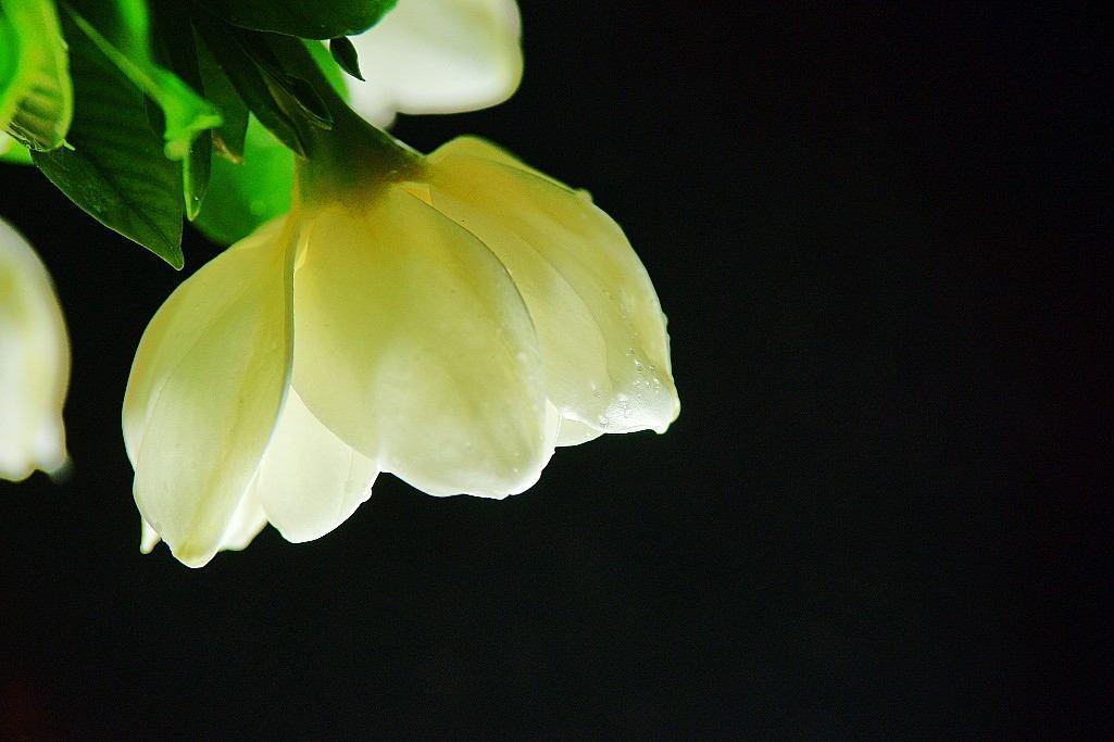 图:栀子花盆景  栀子花是一种常绿植物,如果发现叶子干枯就要引起注意,那么,你知道栀子花叶子为什么干枯,怎么解决栀子花叶子干枯这个问题吗?下面花匠大叔与您一起分析一下栀子花叶子干枯的原因和解决方法:  1、干枯死亡:作为一种常绿植物,正常情况下栀子花是不会有很多枯叶的,如果叶子全部干枯掉落,枝条也变脆,那就说明它死了,无药可救。  2、浇水太多:这种时候要减少浇水,把栀子花盆栽放置在有阳光的地方,将干枯的叶子剪掉,等过一段时间就会长出新叶子了。所以,平时要注意控制浇水量才是关键,见干再浇水。   图:栀子花叶片干枯濒临死亡  3、缺少肥料:缺氮会叶黄, 新叶小而脆;缺钾老叶由绿色变成褐色;缺磷老叶呈紫红或暗红色。对以上诸种情况,可薄施腐熟的人粪尿或饼肥。  缺铁引起的黄化病:这种黄化病,表现在新叶上,开始时叶片呈淡黄色或白色,叶脉仍是绿色,严重时叶脉也呈黄色或白色,最终叶片会干枯而死。对这种情况,可喷洒0.2%-0.5%的硫酸亚铁水溶液进行防治。  缺镁引起的黄化病:这种黄化病由老叶开始逐渐向新叶发展,叶脉仍呈绿色,严重时叶片脱落而死。对这种情况,可喷洒0.7%一0·8%硼镁肥防治。   图:栀子花叶片发黄掉落  4、夏季暴晒:暴晒也会引起栀子花叶子干枯,如果是盆栽要注意防止阳光暴晒,可移至较为阴凉,早晚晒得到阳光的地方。  【小贴士】栀子花在冬季室内通风不良及温湿度过高时,容易发生介壳虫危害,并伴有煤烟病发生。对介壳虫,可用竹签刮除,也可用20号石油乳剂加200倍水进行喷雾防治。对煤烟病,可用清水擦洗,或用多菌灵1000倍液进行喷洒防治。