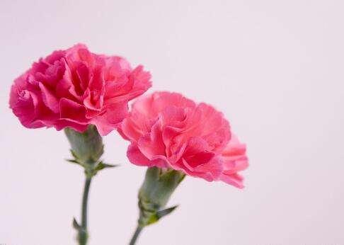 """母亲节,最应该送花的节日!怎能只有 #康乃馨  ?   在五月的第二个周日,还有一个重要的节日,这一天就是——国际母亲节 康乃馨是最受欢迎的切花之一,可供作插花、胸花等。1907年,美国费城的贾维斯(Anna-Jarvis)曾以粉红色康乃馨作为母亲节的象徵。我们都知道康乃馨送给母亲代表祝福母亲安康快乐、母亲我爱你。那你还知道康乃馨配什么花送给母亲更好吗?一起看看吧!  母亲节专属花束,献给你生命中最美的恩慈。 一颗慈母心,一盏永远守候的明灯,即使两鬓斑白,妈妈也是我心中唯一的女神。 这个母亲节,为妈妈选一束花,让她的微笑成为最美的风景。 康乃馨和什么花搭配  感恩的心  花型:3枝白色多头百合,9枝扶郎,16枝康乃馨,黄莺装饰 包装:纱网包装,配红丝带花。 花语:您的养育之恩我会永远铭记,谢谢您,妈妈……  真心祝福  花型:粉色百合花、太阳花、玫瑰、康乃馨均匀插制,点缀少量绿叶。 花语:我亲爱的妈妈,母亲节快乐! 包装:粉色皱纹纸圆形包装,暗红色纱带蝴蝶结束扎。  永驻我心  花型:48枝红色康乃馨 包装:内衬浅绿色玻璃纸外围白色纱网+配绿色丝带花 花语:妈妈,不论时光、世事如何流转变化,您永远是我心里最感念的人。  大恩难忘  花型:18枝粉色康乃馨+9枝橙色小玫瑰+黄莺5枝 包装:玻璃纸和布纹纸双层单面包装,用同色丝带打结。 花语:妈妈,您为我付出了所有,我会永记在心。  思念如潮  花型:红色康乃馨、桃红色康乃馨共12枝,绿叶和满天星点缀。 包装:浅粉色皱纹纸单面包装,橙色蝴蝶结束扎。 花语:妈妈,愿您安康、如意、幸福。  爱的源泉  花型:多头香水百合2枝,红掌2枝,红色康乃馨20枝,用黄莺丰满 包装:粉色皱纹纸圆形包装,暗红色纱带蝴蝶结束扎。 花语:您是我爱的源泉。  寸草春晖  花型:10枝红色康乃馨,点缀满天星。 包装:乳白色布纹纸包装,配丝带花,单面花束。花语:谁言寸草心,报得三春晖。  爱在心里  花型:12枝粉色康乃馨、点缀满天星 包装:单面花束,白色、果绿色手揉纸各1张,印花绵纸2张,粉红色丝带结。 花语:妈妈,这一束鲜花只想告诉您,虽然我嘴里不说,但我心里一直深爱着您。  爱之最真  花型:精品粉玫瑰6枝+粉色康乃馨16枝+紫色勿忘我+绿叶点缀 包装:单面花束,玫红色、白色手揉纸各2张,玻璃纸1张,朱红色蝴蝶结 花语:世上只有妈妈好,用这束花把这句话捎给您。  真爱永恒  花型:红色康乃馨20枝,富贵叶等装饰。 包装:浅褐色绵纸包装,配大丝带花。 花语:我慈祥伟大而平实的妈妈,我永远爱您。  如果看到这里还在头疼迷茫纠结,那么来测试一下吧! 测试:母亲节送妈妈什么花 1.你现在已经为人父母了吗? 是的—3 不是—2  2.你亲口对妈妈说过一句""""我爱你""""吗? 是的—3 没有—4  3.你认为妈妈会成为你的人生榜样吗? 是的—4 不会—6 不知道—5  4.在过去的五年里面,你能够在每一年的母亲节里都送妈妈一份礼物吗? 是的—5 不是—6  5.在以下几个选项当中,哪一个最贴近母亲对你的教育方式: 让你自由发展—8 对你有着严格的要求—9 为你设置好人生道路—7 控制着你的一举一动—6  6.在你的眼中,母亲是一位? 事业有成的女强人—7 普通的劳动妇女—8 依赖丈夫的小女人—9 落伍的家庭主妇—10  7.在你成长的道路上,母亲对你影响最深的地方在于: 积极的心态—F 勇敢的精神—8 不断的鼓励—C 过人的自信—B 以上都没有—9  8.在父母年老的时候,你认为他们最需要的东西是以下的哪一样呢? 子女的关爱—A 丰厚的养老金—9 健康的身体—D 美满的婚姻—10  9.如果可以把爱分成几个等级的话,你认为妈妈对你表现出来的爱达到下面的哪个等级? 深—B 中等—10 浅—E  10.在以下几个选择当中,你认为哪一个词最能表达妈妈在你心目中的形象? 高山—A 大海—D 湖水—E 天空—C 森林—F   答案揭晓  母亲节送妈妈什么花测试结果:  A.毋忘我 情人间的爱只拥有一霎那的光辉,朋友之间的爱就算绵长也会因为时空而疏淡。世间上又有哪一种爱能够突破时间,永恒存在呢?只有父母与子女之间那份血脉相连的亲情,可以冲破时空的界限,永恒不变。你对妈妈的感情刻骨铭心,用言语说出来只会显得矫情和别扭。那就用花语来说出你的心声吧!毋忘我的花语恰恰就是永恒的爱,你说,还有哪一种花比她更适合你送给妈妈呢?  B.茉莉花 你是妈妈心中最疼爱的孩子,从小就在妈妈的呵护和爱惜之中长大,连身边的空气都布满了浓浓的幸福。温柔善良的妈妈对你来说是一位了不起的人物,也是你深深眷恋的人。茉莉花的花语是和蔼可亲,用她来代表妈妈在你心中的形象十分贴切。在这个充满温情的母亲节里,送妈妈一束清香的茉莉花,并且附上一张写满爱语的卡片,相信一定能让你"""