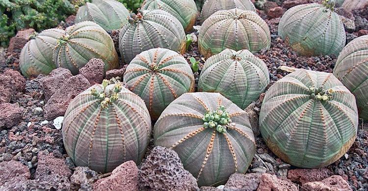 Hasil gambar untuk Euphorbia obesa