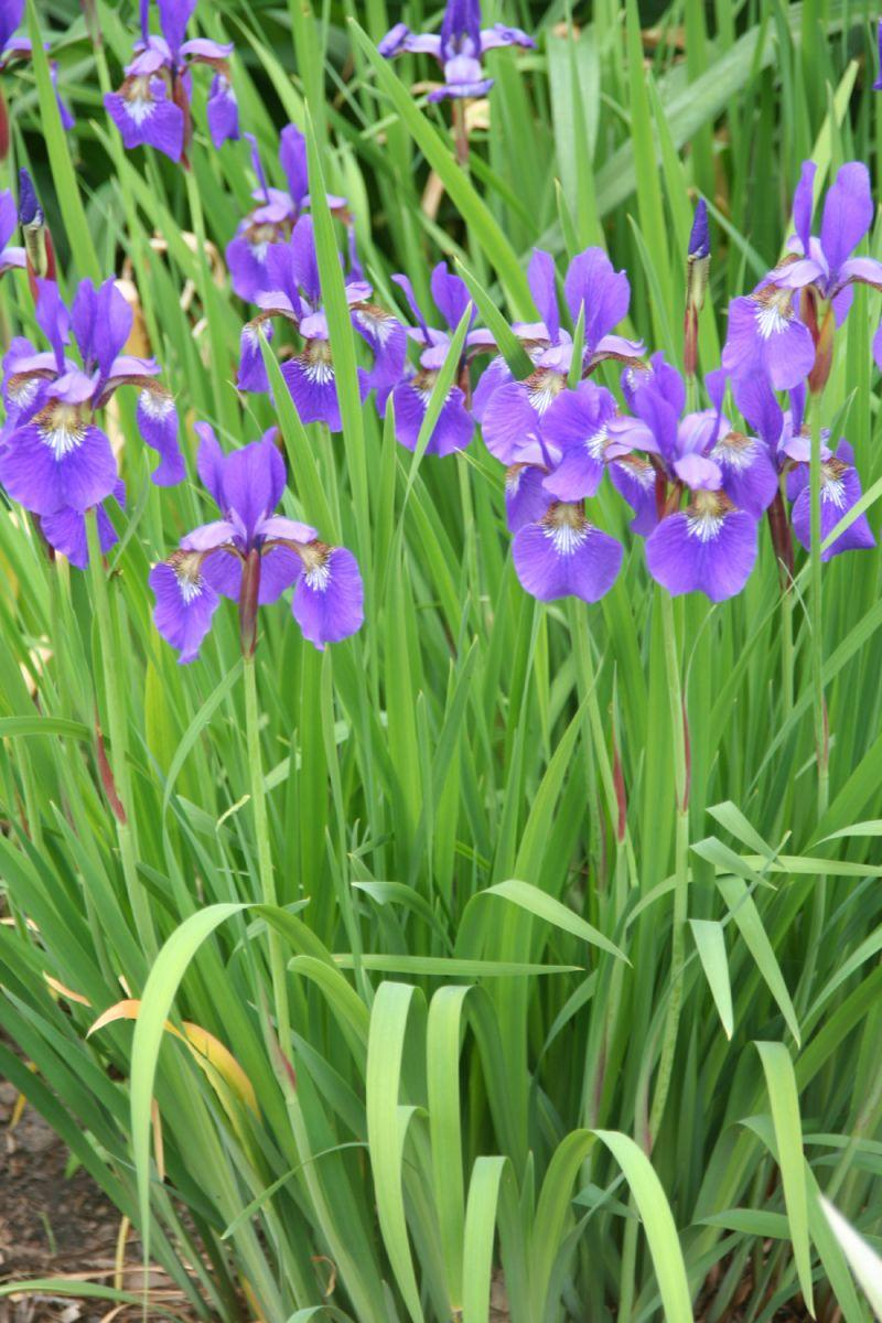 Iris green fingers gfinger is the most professional gardening app the iris was also a favorite flower of the moslems who took it to spain after their conquest in the 8th century izmirmasajfo Choice Image