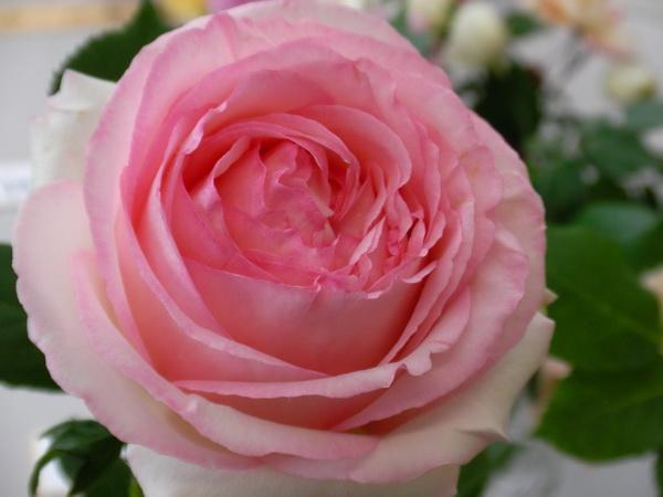 Are Roses Monocots Or Dicots Green Fingers Gfinger Is The Most
