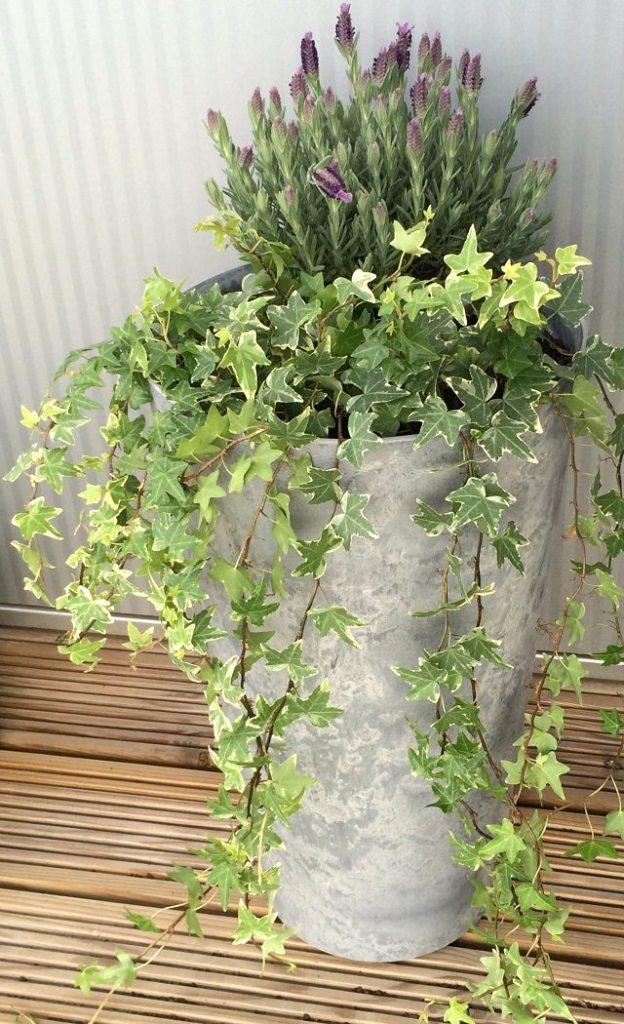 Add a vertical touch in your container garden by growing climbing plants for containers. Must see these 24 best vines for pots. The climbing plants in pots can bring a real touch of nature to any place, and they are a good way to add some privacy, too. These plants will create a nest of greenery where you can relax and rejuvenate and harbor in the mild soothing fragrance and lively colors. 1. Ivy  Ivy is one of the best climbers for containers. Its ability to adapt to all types of position makes it an excellent choice for beginners. It can grow up to 80 feet high, and its evergreen foliage remains green even in winters. Plant it in a containerthat is wide and shallow rather than narrow and deep. 2. Morning Glory  Morning glories are a good option and one of the best creepers or vines for containers. This old-fashioned plant is easy to grow. 3. Clematis  Clematis is the perfect plant to add vertical height and interest to any container garden. Plant clematis in a large container. Fertilize this plant regularly and make sure to always water it thoroughly and deeply. 4. Virginia Creeper  Virginia Creeper's foliage turn into a beautiful red in the autumn. You can also grow it in apot, even on a balcony. It improves privacy! To grow this, find a really big container and provide sturdy support of a trellis. 5. Climbing Hydrangea  Climbing hydrangea is a great option, if you live under the USDA Zones 5-8 and have a lot of room as this vine can grow up to 70 feet long. It is shade tolerant and thrives best in semi-shaded positions. This plant needs a large pot of about of the size of the half of a whiskey barrel. 6. Trumpet vine  This big (up to 40 ft.) and afast growing vine is considered as a weed in some parts due to its invasiveness. Despite the fact, this plant is famous for its trumpet-shaped flowers that come in shades of yellow to red and attract hummingbirds. Trumpet vine is more suitable for warm temperates, still it can acclimatize and grow in cooler regions if t