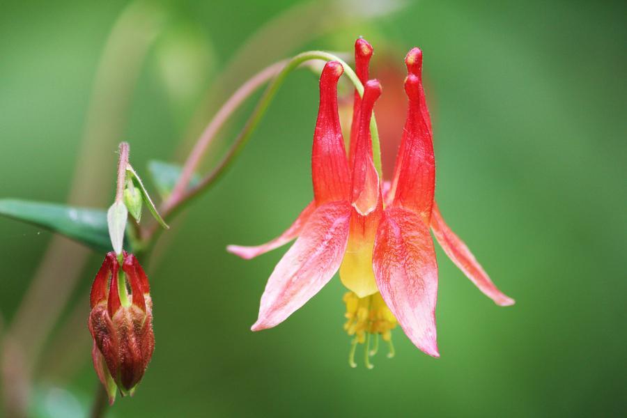 #耧斗菜  的花期  耧斗菜是在每年的5月份——7月份的时候开花,一般耧斗菜在开花的时候,会开花3朵到7朵,一般是蓝色、紫色,也有其他的一些颜色,花药是黄色的。   耧斗菜的花语和传说  耧斗菜有着不一样的花语,必定要得手,坚持要胜利,像是紫色的耧斗菜,它的象征意义就是胜利。  关于耧斗菜的传说其实比较古老了,据说在古时候的希腊,战士们为了保护自己的家园,男士们都加入了战争,战争都是危险的近距离战斗,而长在沟谷深处的乱石堆里的耧斗菜,就见证了人们的战争,也同时见证了胜利的一方,所以他的花语就是胜利。   耧斗菜开花图片欣赏  耧斗菜十分美丽,有着牡丹芍药一样美丽高贵的造型,但是又不像它们那样娇贵。那美丽鲜明的身影,足以让人难以忘怀。