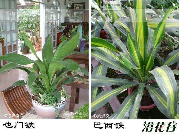 不管是也门铁还是巴西铁都是很常见的观叶植物,而也门铁和巴西铁的区别也不容易来辨识,但是如果是两种植物放在一起,还是有区别可以找的,我们来看看它们都有哪些不同。  巴西铁:龙舌兰科(Agavaceae)龙血树属常绿小乔木,株高可达6米,花期初春,叶集生茎端。叶狭长椭圆形,长40~90cm,宽5~10cm,革质。花淡黄色,芳香。原产非洲几内亚和阿尔及利亚。是美丽的室内观叶植物。有金心'Massangeana'(叶有宽的绿边,中央为黄色宽带,新叶更明显)、金边'Victoria'(叶大部分为金黄色,中间有黄绿色条带)、黄边'Lindenii'(叶有黄绿色的宽边条)等栽培变种。  也门铁: 龙舌兰科(Agavaceae)龙血树属常绿小乔木,株高约2米。叶为宽条形,深绿色,无柄,叶绿色有光泽。伞型花序,花小,黄绿色。花期 6~8月。  也门铁和巴西铁的区别(直观区别): 1、巴西铁的叶片较软,叶端下垂明显,拱垂形。  2、也门铁的叶片较硬,叶端下垂不明显,斜出伸展形。  3、市场上巴西铁大多是园艺种,金心或者金边。  4、也门铁的叶片相对巴西铁的叶片要略长一些(不同植物,不同时期有差异)。