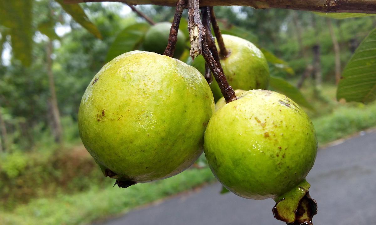 #番石榴  为热带果树,原产热带美洲,今在元江有栽培。番石榴属桃金娘科番石榴,是常绿小乔木或灌木,俗称拔番石榴子、那拔。因其来自国外,故名为番石榴,是亚热带名优水果品种之一。番石榴生长适应性强,不择土壤,栽培容易。   番石榴,俗称芭乐、那拔仔或拔子。台湾芭乐为桃金娘科番石榴属果树,肉质非常柔软,肉汁丰富,味道甜美, 几乎无籽,风味接近于梨和台湾大青枣之间。它的果实椭圆形,颜色乳青至乳白,极其漂亮,平均单果重380克以上,最大的可达550克,含糖量为11.45%,含有大量的钾、铁、胡萝卜素等,营养极其丰富。芭乐是台湾的土生水果之一,还是一等一的减肥水果。具有以下特点:     1.果形有球形、椭圆形、卵圆形及洋梨形,果皮普通为绿色、红色、黄色,果肉有白色、红色、黄色等。肉质细嫩、清脆香甜、爽口舒心、常吃不腻,是养颜美容的最佳水果。     2.营养丰富,可增加食欲,促进儿童生长发育,含有蛋白质、脂肪、醣类、维他命A、B、C,钙、磷、铁。番石榴营养价值高,以维他命C而言,比柑桔多8倍,比香蕉、木瓜番石榴、番茄(西红柿)、西瓜、凤梨等多数十倍,铁、钙、磷含量也丰富,种子中铁的含量更胜于其它水果,所以最好能一起食下去。     3.食疗药用价值高,可防治高血压、糖尿病,对于肥胖症及肠胃不佳之患者,最为理想之食用水果。芭乐的叶片和幼果切片晒干泡茶喝,可辅助治疗糖尿病。     4.果实无药害、病害污染,因讲究科学栽植,从小果开始就套装薄膜袋,直到采果,与药害虫害隔绝,是标准的绿色食品。     5.具有各种大、中、小美观、精致的包装。便于贮藏和运输,因季节不同,保鲜时间15-30天不等,又可加工制汁,是当前最畅销的果汁饮料,也是现代人的最佳礼品。    6.方便生食,鲜果洗净(免削皮)即可食用,有些人喜欢切块置于碟上,加上少许酸梅粉或盐巴,风味独特。如使用家庭式果汁机,自制原汁、原味芭乐果汁,享受人生独特口味。     芭乐果实不但可以鲜食,还可以加工为果汁、果酱、果脯,同时还可制作成盆景,具有广阔的市场前景。是目前港澳台和东南亚地区最畅销的水果之一。