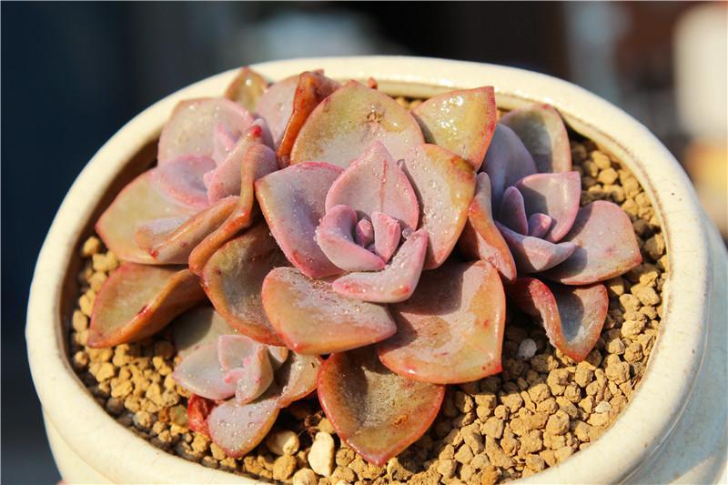 """#吉普赛女郎多肉  其实也就是吉普赛,其他包括吉普赛人、吉普赛美人、吉普赛女王等都围绕""""吉普赛""""命名,这些都是吉普赛多肉植物一种植物的别称,甚至还有花友叫它玫瑰之约,吉普赛女郎是风车草属与拟石莲花属的杂交品种,来自韩国,  吉普赛,中型多年生肉质草本植物。植株由肉质肥厚的叶片排列成莲座状,新株上几乎看不到茎,老株茎直立,容易生侧芽,形成群生株,叶子匙形、卵三角形或广卵形,随生长过程有所变化。叶端或收尖、或钝圆,被白粉,绿色泛红晕、浅棕色、灰紫色、玫瑰红色或粉红果冻色,随生长过程和季节、光照、温差的变化而变化。或许其基色调与吉普赛人的肤色似乎相近,故有""""吉普赛""""之称。  吉普赛叶片正面有些内凹,背面稍有隆起,整体感觉""""肉嘟嘟""""的,花期春季,聚伞花序,花朵星形,5个花瓣,较狭小,感觉不太显眼,浅绿色或绿白色,有粉色的晕,及红色点、线纹,雄蕊花药藕色,花开时,花丝外翻,花药变紫色,相对突出,花梗、花萼、都是浅棕色或灰紫色,由于色差小,显得并不出彩。     吉普赛,生性强健,是比较好养的品种。喜光照充足、干燥和通风的环境。冬型种,可全日照室外养护。对日照的需求量较多,对水分的需求量较少,夏季高温适当遮荫,加强通风,避免盆土积水,冬季只要不出现极端天气,有充足光照,不必搬到室内养护。介质可选用多肉花卉专用土。  吉普赛繁殖方法选择叶插和枝插都可以,具体的方法可同其他景天科多肉植物一样。"""