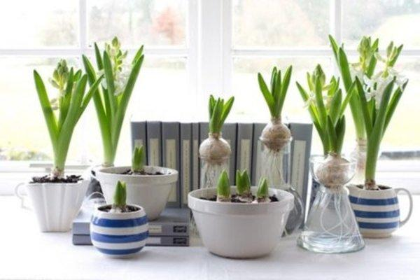 Forcing bulbs for the holidays, or for holiday gifts is a great idea to start now, when fall bulbs are available. You have a variety of healthy stock to choose from this time of year, and it really is an easy project! All is takes is some basic materials, fall bulbs, and a little room to store them until they bloom. Here is how to force bulbs for the holidays.  The most popular bulbs to force for the holidays are Paperwhite Narcissus and Amaryllis. The Paperwhites are fragrant, delicate and smaller. Amaryllis is a large bulb and a larger plant, with large flowers in a variety of colors. Red is an obvious holiday choice, but try white for a fresh option that can take you through the New Year.  How to Force Paperwhites  Paperwhites are easy to force in a tall glass container, with some decorative gravel. The tall container helps to support the plants as they grow. I like to add a little charcoal from the indoor plant section to keep the water smelling sweet.  Purchase firm, full, blemish free bulbs. When forcing in particular, quality counts.  Pour in two inches of pebbles that have been rinsed. Add a tablespoon or two of rinsed charcoal then more pebbles. Place bulbs, root-side down and almost touching one another, on top. Add enough tepid water to reach just below the bottoms of the bulbs. Replenish when the level falls by a quarter inch.  Paperwhites will bloom in four to six weeks, so if you are planting as gifts, count backwards in the calendar from the proposed gift giving time.  How to Force Amaryllis  Force Amaryllis in a watertight, shallow container. Fill the container until two thirds full, add charcoal bits as desired. Fill with slightly warm water until they just barely cover the pebbles. Lay one Amaryllis bulb on top of the pebbles, root side down. Try to purchase a bulb with fleshy, healthy looking roots. Add more pebbles until you reach the neck of the bulb, to give it support as it grows. Add water as needed so that the water level touches the bottom 