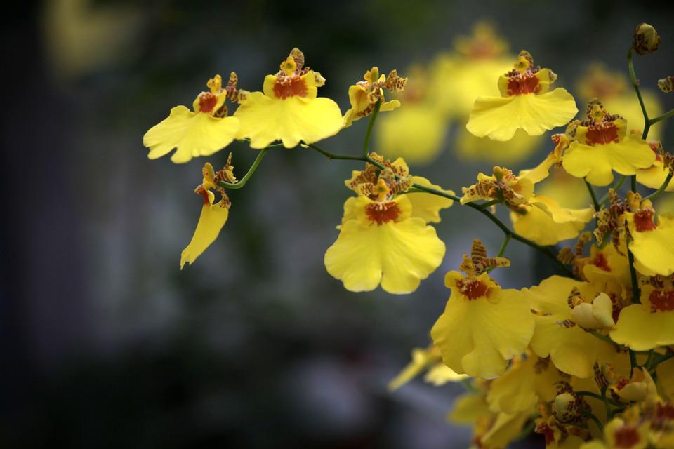 """#文心兰  花期  文心兰的花期一般在每年的10中旬开花,其花期比较短,花开素丽优美,花的品种也多,极具观赏性;  不过因为种类杂,生长地区不一,所以花期不一样,没有固定的花期。  文心兰是世界上一种重要的盆栽花卉的原料。  文心兰花的特征 首先是在一个假鳞茎上就只有1个花茎,不过那些生长粗壮的假鳞茎可能也会有2个花茎;  文心兰的花朵色彩鲜艳明丽,形状像是飞翔的金蝶一样,又似翩翩起舞的少女,亭亭玉立,所以也叫金蝶兰或舞女兰;  大部分种类的文心兰的花茎上面只有2朵花,而有些会达到十几朵之多;  文心兰的花多以黄色为主,另外还有常见的是绿色、白色、红色和洋红色等颜色,真是可谓乱花渐欲迷人眼;  文心兰花的大小也不一,有的花朵很小,而有的花朵很大,形态各异;  花的构造很特殊: 花萼的萼片大小均等,花瓣与背萼是一样大小的;  花有三裂的唇瓣,大小不一,是提琴状的,形态及其优美,在中裂片上面的基部有一脊状凸起物,脊上又凸起的小斑点,看起来真的很奇特。  文心兰花的象征意义 文心兰的花语和象征代表意义:吉祥如意,快乐无忧、忘却烦忧;  据说是来自一个传说,就是宋庆龄仿白宫的时候一眼就看到这种花,其花的形状像是中国的""""吉""""子,所以后来就用来象征吉祥如意。"""