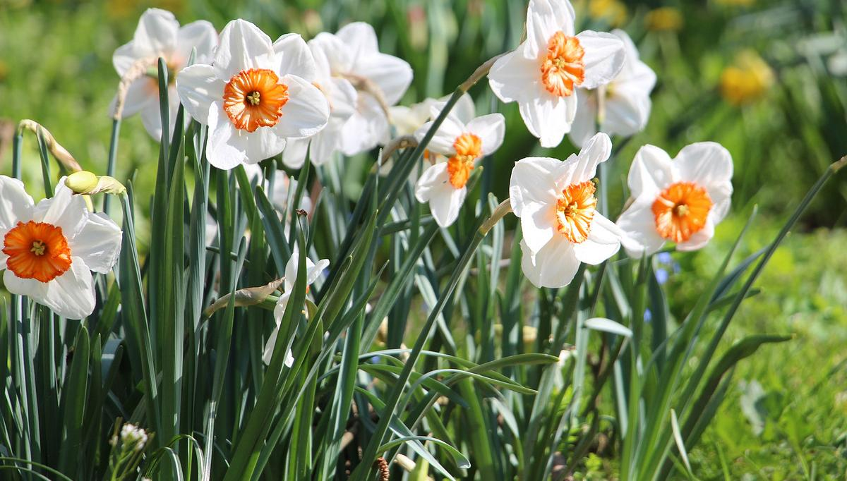 Just when you thought the snow would never melt, or the winds would never stop, daffodils brighten your garden with a burst of color in spring. Super easy to grow in most zones, daffodils are great cut flowers, can beusedin both formal and informal gardens, can be grown in containers, and can even be forced to bloom out of season! There are many more varieties than just the time honored sunny yellow, and single and double foliage. There are even miniature daffodils, perfect for making a statement in a small garden, planting in a casual lawn of grass, or using in containers. If you know how to dig a hole and be patient, you can grow daffodils.  Daffodils must be planted in the fall to bloom in the spring with just a few easy care requirements.  How to Plant and Grow Daffodils  Choosing Bulbs and Varieties  Choose healthy bulbs by looking for bulbs that are papery, not shriveled. Full, heavy bulbs that don't have gashes or cuts are a good sign of bulb health. Don't buy any bulb with mold or fungus.  Most varieties will bloom wherever there is a winter frost, as they need a period of cold dormancy to force blooming. There are varieties that grow in the south in zone 9, check with your local nursery for best suggestions for your area. According to 'Southern Living', these types are perfect for Southern gardens.'Avalon', 'Carlton', 'February Gold', 'Geranium', 'Hawera', 'Ice Follies', 'Jack Snipe', 'Jetfire', 'Minnow', Narcissus odorus, 'Quail', 'Saint Keverne', 'Salome', 'Tête-à-tête', 'Thalia', and 'Trevithian'.  Varieties run from two foot tall sunny yellow traditional daffodils, to tiny little minis, to white doubles with a pure pink throat. There are pale yellows, coral throated beauties, and even a pure pink variety! Check out our favs at the end of the post to help you choose. Remember, choose for your space. Don't expect a dozen minis to make a big impact on an acre lot.  Planting Daffodil bulbs are planted in thefall, before the ground freezes.It's best to plant