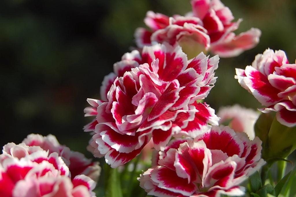 """#香石竹  为石竹科石竹属一年或多年生丛生草本花卉,其繁殖可用播种、扦插、压条、组织培养等方法进行,一般多采用扦插繁殖,在冬春季节进行。 通常来说,香石竹的扦插在12月至翌年4月间均可进行,尤以1月至2月为宜,此时用作插穗的侧芽生长健壮,质量最好;同时,这段时间扦插可以控制植株在第二年元旦和春节开花。而3月份扦插的成活率也较高,但此后生长不如1月至2月扦插的好,作为补植需要可在此时进行。扦插香石竹,首先应配制好培养土,一般用园土掺入30%至40%的砻糠灰或沙土,混合均匀后,放插盆或木箱中。    扦插需在温室内进行,从生长强健、开花整齐、具有粗壮节短枝条的母株上选取插穗。在强健枝条中部选短而粗的侧芽,长3至4厘米一段。采插穗时应采取""""掰采法"""",两手同时进行,即一手拿主枝干,一手拿选作插穗的芽,将老叶片和芽同时向外剥下,使基部完整并带有节痕,将插穗浸入水中或喷水于剥离处,使其吸足水分,留待扦插。 扦插的深度应为插穗长度的1/3至1/2 。插后浇透水,保持10℃至15℃的温度。苗床的养护要精细,插后次日再浇1次水,如叶片有萎软现象,可在叶面喷雾数次,泥土稍湿润,但不要过湿。初插时,在晴朗的白天一般要遮阳,以避强光,一般遮光2周左右即可。30至45天左右插穗即可生根,一般在幼苗成活1个月以后可以进行移植。 若在3月以后扦插,选取的插穗可稍长些。由于此时温度逐渐升高,昼夜温差大,湿度也大,需搭架遮阳3周左右,并注意通风透气,以防幼苗遭受病虫害。"""