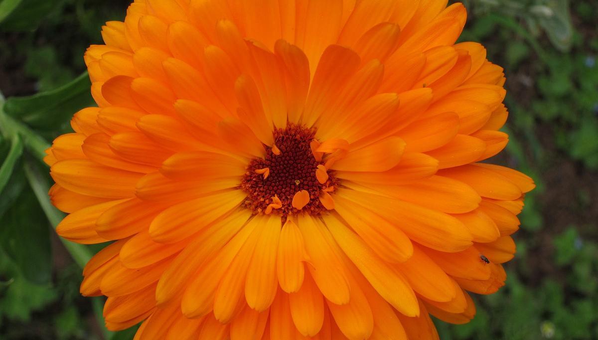 金盏菊又名金盏花,为菊科金盏菊属植物。金盏菊植株矮生,花朵密集,花色鲜艳夺目,花期又长,是早春园林和城市中最常见的草本花卉。  金盏菊原产欧洲,在欧洲栽培历史较长,广泛用于家庭小花园和盆栽观赏,在城市的街旁的栽植槽和零星墙角花坛中,金盏菊是早春主角之一。由于花卉新种类、新品种的不断出现,金盏菊的地位略有下降。不过金盏菊的新品种还是不少。至今,英国的汤普森·摩根公司和以色列的丹齐杰花卉公司在金盏菊的育种和生产方面闻名于欧洲,它们选育的新品种在世界各地都有栽培。  我国金盏菊的栽培,是18世纪后从国外传入的,以后便出现盆栽金盏菊。清代乾隆年间,上海郊区已见批量金盏菊生产。新中国成立后,金盏菊在园林中广泛栽培,应用于盆栽观赏和花坛布置。20世纪80年代后重瓣、大花和矮生金盏菊引入我国,金盏菊的面貌涣然一新,现已成为我国重要草本花卉之一。  形态特征与品种: 金盏菊为二年生草本。全株被毛。叶互生,长圆形。头状花序单生,花径5厘米左右,有黄、橙、橙红、白等色,也有重瓣、卷瓣和绿心、深紫色花心等栽培品种。常见品种有邦·邦(BonBon),株高30厘米,花朵紧凑,花径5~7厘米,花色有黄、杏黄、橙等。吉坦纳节日(FiestaGitana),株高25~30厘米,早花种,花重瓣,花径5厘米,花色有黄、橙和双色等。卡布劳纳(Kablouna)系列,株高50厘米,大花种,花色有金黄、橙、柠檬黄、杏黄等,具有深色花心,其中1998年新品种米柠檬卡布劳纳(KablounaLemonCream),米色舌状花,花心柠檬黄色。红顶(TouchofRed),株高40~45厘米,花重瓣,花径6厘米,花色有红、黄和红/黄双色,每朵舌状花顶端呈红色。宝石(Gem)系列,株高30厘米,花重瓣,花径6~7厘米,花色有柠檬黄、金黄。其中矮宝石(DwarfGem)更为著名。另外,圣日吉它,极矮生种,花大,重瓣,花径8~10厘米。祥瑞,极矮生种,分枝性强,花大,重瓣,花径7~8厘米。还有柠檬皇后(LemonQueen)和橙王(OrangeKing)等。  生物学特性: 金盏菊原产欧洲南部及地中海沿岸。耐寒,怕热,喜阳光充足环境。  金盏菊的生长适温为7~20℃,幼苗冬季能耐-9℃低温,成年植株以0℃为宜。温度过低需加薄膜保护,否则叶片易受冻害。冬季气温10℃以上,金盏菊发生徒长。夏季气温升高,茎叶生长旺盛,花朵变小,花瓣显著减少。  幼苗的金盏菊以稍湿为好,有利于茎叶生长,冬季提高抗寒能力。成年植株以稍干为宜,可以控制茎叶生长,以免引起徒长。室内或棚式栽培,空气湿度不宜过高,否则容易遭受病害。应加强通风来调节室内湿度。   金盏菊喜充足阳光,尤其冬季露地育苗或棚式栽培,均需充足日照,这样对茎叶生长十分有利,幼苗生长矮壮、整齐。如过多雨雪天,光照不足,基部叶片容易发黄,甚至根部腐烂死亡。  土壤以肥沃、疏松和排水良好的沙质壤土或培养土为宜。土壤pH以6~7最好。这样植株分枝多,开花大而多。  繁殖方法: 金盏菊主要用播种繁殖。常以秋播或早春温室播种,每克种子100~125粒,发芽适温为20~22℃,盆播土壤需消毒,播后覆土3毫米,约7~10天发芽。种子发芽率在80%~85%,种子发芽有效期为2~3年。   栽培管理: 幼苗3片真叶时移苗一次,待苗5~6片真叶时定植于10~12厘米盆。定植后7~10天,摘心促使分枝或用0.4%比久溶液喷洒叶面1~2次来控制植株高度。生长期每半月施肥1次,或用卉友20-20-20通用肥。肥料充足,金盏菊开花多而大。相反,肥料不足,花朵明显变小退化。花期不留种,将凋谢花朵剪除,有利花枝萌发,多开花,延长观花期。留种要选择花大色艳、品种纯正的植株,应在晴天采种,防止脱落。  病虫害防治: 金盏菊如室内栽培,因通风差、湿度大.常发生枯萎病和霜霉病危害,可用65%代森锌可湿性粉剂500倍液喷洒防治。初夏气温升高时,金盏菊叶片常发现锈病危害,用50%萎锈灵可湿性粉剂2000倍液喷洒。早春花期易遭受红蜘蛛和蚜虫危害,可用40%氧化乐果乳油1000倍液喷杀。   产后处理: 金盏菊花朵鲜黄、叶片翠绿,十分醒目。盆栽摆放中心广场、车站、商厦等公共场所,在阳光的照射下,金光闪闪,呈现一派富丽堂皇的景象。数盆点缀窗台或阳台,金盏菊的金黄色花朵,使居室更加明亮、舒适。当然,在幼儿园、小学的校园里栽上一片,长圆形的叶片和圆形的花朵,也是小朋友们写生的最好素材。盆栽金盏菊为了全年供应市场,也可采用室内贮藏的办法。常将初花的金盏菊放在10℃和7500勒克斯光照条件下,可保持良好状态30天以上。生产金盏菊种苗的可以将实生苗先浇透水,存放在1.1~4.4℃和每天14小时光照条件下,贮存15天,仍保持原有状态。