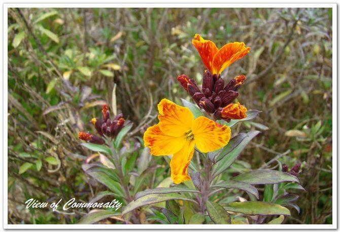 #桂竹香的花期    桂竹香的花期主要集中在春季。橙黄色的花朵,散发着芳香,每当春季的时候,它就会开放。桂竹香的花期多是4——5月份,每一株上的花朵依次的开放,全株可以开花2——3个周,但是单朵花的花期很短。  桂竹香二次开花 桂竹香的花期虽然是在春季,但是在养护的过程中,合理的操作,可以使其二次开花。二次开花的时间一般是在9——10月份。  想要让桂竹香二次开花,可以在桂竹香花朵凋谢之后,剪掉花枝,然后追施一些速效肥,并注意浇水,夏季的时候要注意浇水,就可以再次开花了。  桂竹香的花期控制 桂竹香可以控制开花的时间,如果是在春夏季节播种,10月份左右促使花芽分化,并在入冬前将桂竹香移到室内,那么在初冬的时候可以开花。 想要延迟桂竹香的花期,可以在植株生长到一定的高度的时候进行摘心,使侧枝生长,还可以增加花量。这种方法一般可以延迟花期7天左右。也可以降低桂竹香养护的温度,使其开花的时间延迟。 当然了,如果是花期太晚了就可以喷施一些磷钾肥,促使开花。  桂竹香的花语 桂竹香的花语是困境中保持贞节和真诚。 桂竹香多用于妇女节、母亲节等节日的装饰,也常常会用作4月份的各种活动的装饰花卉。