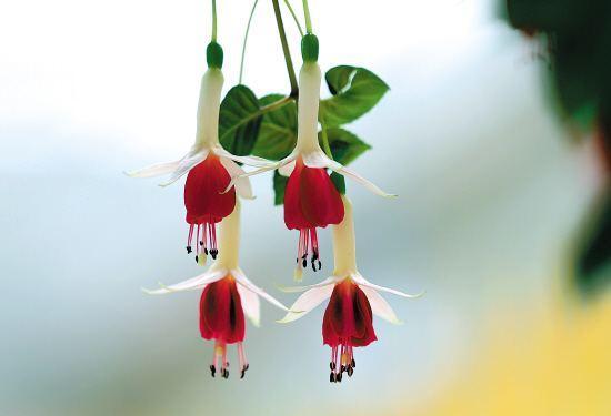 #倒挂金钟  什么时候开花 倒挂金钟整个持续的花期其实是比较长的。 倒挂金钟开花,一般是从4月份持续到12月份。开花的时候,花朵下垂,就像是一盏盏垂挂的彩色金钟。倒挂金钟的花朵颜色是比较丰富的,紫红色、花色、粉红色,艳丽又精致。  倒挂金钟的花语 倒挂金钟的花语是相信爱情和热烈的心,因为它生长的比较整齐,花朵艳丽精致,看起来有些像中国古时候的花灯,符合我国的传统文化,它的花语又有着吉祥、安宁的意思。此外,还有感恩和谢错的含义。  倒挂金钟开花图片欣赏