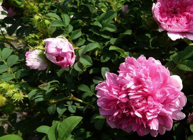 缫丝花的花期  据说缫丝花是在每年煮茧缫丝的时候开放的,所以就被叫做缫丝花。  缫丝花的花期是在5月份——7月份,花朵单生或者是2朵到3朵聚生在一起,身在枝头上。缫丝花的花朵有单瓣、半重瓣和重瓣,颜色主要是淡红色或粉红色,有轻微的香气。  缫丝花会结果实,果期是8月份——10月份,扁球形的。  缫丝花开花需要注意浇水和施肥,在育蕾期和开花期要保证充足的水分,但是要注意雨季不要积水。  花谢之后需要将缫丝花减除残花,并疏去多余的花蕾,这是为了减少养分的消耗,为接下来的开花创造条件。  缫丝花花谢后,需要剪除残花并疏去多余的花蕾,可以减缓养分的消耗,为缫丝花再次开花创造好的条件。可以施一到两次的速效肥。  缫丝花的花语  缫丝花的花语,有一种说法是:美好。  缫丝花开花欣赏