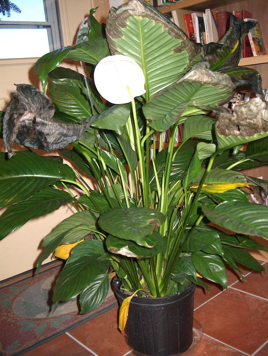 Peace lily not blooming reasons a peace lily never flowers green it is not uncommon to find a peace lily not blooming even when it is a healthy plant they are native to the tropical americas and found in dense forests izmirmasajfo Gallery