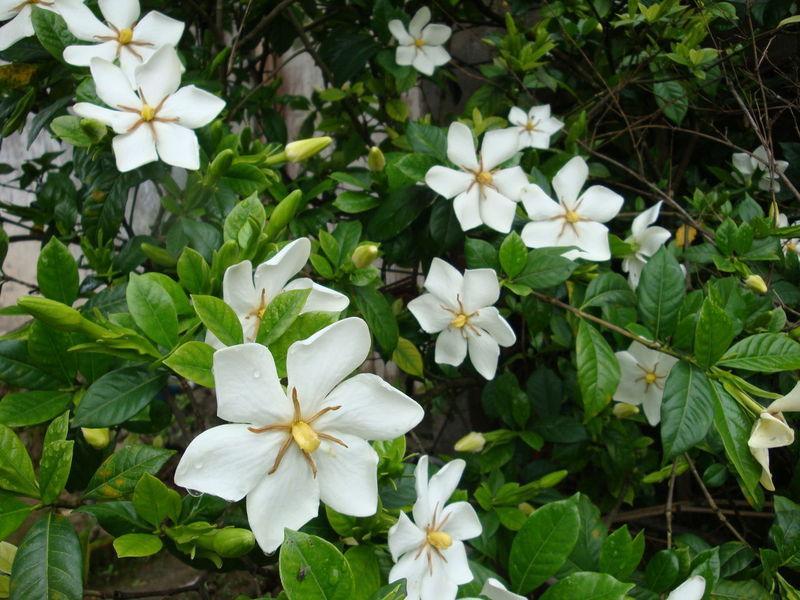 清雅馨香的 #栀子花  以它洁白似玉的花朵,油润碧绿的叶片,为炎炎夏日增添了不少清凉和芬芳,成为人们喜爱的家庭盆栽花卉。在我国南方,得天独厚的温暖湿润气候和微酸性水土使养好栀子花成为轻而易举的事。而对北方人来说,栀子花则需要精心管护,稍不留神,它就面黄肌瘦,很少开花,重则香消玉殒。笔者经过几年摸索,近年盆栽栀子年年花繁叶茂,主要做好了以下几点:  1.选择适宜的盆土。栀子花是喜酸性花卉,适宜的pH值为5至6。如果土壤酸度不适宜,将会在今后的管理中事倍功半。栽培用土可选腐叶土、泥炭土或沤制锯屑加一半的园土,忌用陈墙土和煤渣,用市售的君子兰土更加方便实用。  2.科学浇水。栀子花喜湿润的土壤和较大的空气湿度。在4月至9 月生长期要保持盆土湿润。盆土表面见干就浇水,晚上可用喷壶向叶面淋水浇施。如干透萎蔫,会对生长不利。生长过旺、节间较长的,晚上不浇水,早上太阳出来再浇水。北方碱性水地区,自来水要放两天再用。每隔三五日,用每升中加入0.5克柠檬酸、1克硫酸亚铁的水溶液浇透水一次,可使叶片油润碧绿。  3.合理施肥。栀子花喜肥。在培养土中可加入3%腐熟饼肥作基肥。生长季节用饼肥加硫酸亚铁沤制的矾肥水每周浇一次,也可用0.1 %腐殖酸全营养有机液肥。现蕾期浇1次至2次0.1%磷酸二氢钾水溶液,可使花朵肥大、花香浓郁。酷暑期气温35℃以上和秋季15℃以下时停肥。  4.多晒太阳。栀子喜光,长期在半阴处也能生长,但花枝较长,花朵较少。除7月至8月中午强光需遮阴和冬季休眠期外,一般都需放阳光下养护,才能花繁叶茂。  5.冬季休眠好。栀子花在我国秦岭一带可露地越冬,但盆栽栀子经严冬后根系会受损害,春季恢复慢。而在有供暖的室内越冬,虽不受冻害,但光照不足,生长瘦弱,秋季形成的幼蕾大多脱落,第二年开花晚。较好的办法是将盆花放在5℃左右的冷室使其休眠,或用泡沫塑料等保温材料将花盆包裹好,保护好根系,放在背风向阳处越冬,春季恢复快,开花早。  6.适时换盆土。小苗用小盆栽,逐渐换入大盆。当冠幅为盆口径的2倍至3倍时,就该换盆了。生长季节随时可换。倒盆后连土坨栽入新盆,口径较原盆大5厘米左右为宜。家庭盆栽当盆达到28厘米左右时,一般不再换盆而只换盆土。于春季3月换土较好。倒盆后剪去部分老根,抖掉一半旧土,用新土栽入盆中后浇透水,放温暖半阴处,有新芽萌动时放阳光下养护。  7.适当修剪。大花栀子小苗在主干20厘米高处打去顶尖,留3个至4个分枝,分枝2对叶片时再打去顶尖,促发分枝,以后可任其生长。小叶栀子不需打顶。每年开花后轻修剪,剪去内膛枝、病弱枝,个别徒长枝短截。大花栀子4年至5年后冠幅太大时,可于花后进行强修剪,一般将上部分枝留2对叶短截,出芽后抹去向内生长的芽和主干下部的芽,株形会变得更紧凑美观。切记栀子花春季不可短截枝顶,否则当年不会开花。