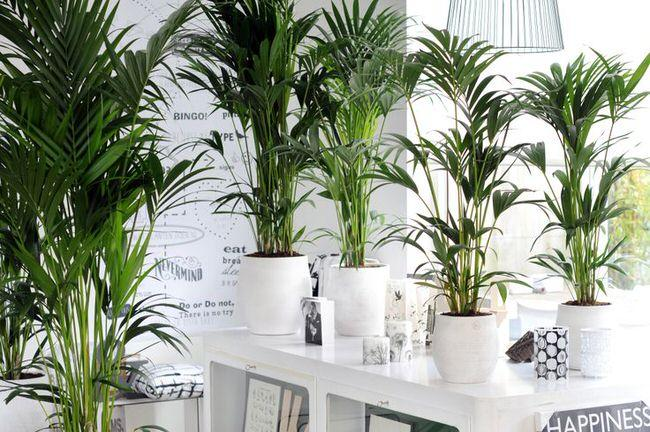 Few things bring more life to our home's interiors than plants, and using tropical plants indoors creates your own little paradise. For us gardeners, it's an opportunity to grow plants we might otherwise not be able to grow in our regions. Tropical plants are pretty easy to grow indoors, and just require attention to a few details to make sure they do well. Here are some popular tropical plants to grow indoors, and the little tricks to make sure you are successful with them. Remember if you have kids or pets to always check with your poison control to see if the plants you wish to use in your home are toxic.  Palms  There are many types of palms available as house plants, but most of them require the same basic care.  1. Palms generally like warm air. Keep palms away from cold drafts, air vents, or open doors.  2. Palms like to be moist, but most don't like to sit in water. Make sure that you have a good drainage pan under your palm, and empty any excess about a half hour after watering. If you notice brown tips to the fronds, improve your drainage. Some palms like to be sprayed with a mister for humidity, and others, especially fan palms, prefer drier conditions. Check your specific type of palm.  3. Don't overwater. This kills more palms than any other thing. Water when the soil is dry a half inch down.  4. Light, light, light! While palms will tolerate some low light, it's not ideal and it will not help them grow into a healthy looking plant. Give them the brightest light you can provide. Palms with tender, transparent fronds will appreciate being shielded from direct sun.  Kentia Palm    Bird of Paradise  Birds of Paradise (Giant or White) may be the most dramatic tropical plant you can grow indoors! Luckily, given the right conditions, they aren't hard to grow. Here are the basics…  1. Light, light, light! Are you sensing a theme here? Bright light is the secret to this beautiful plant doing well.  2. Space. Repot every year and make sure they have growing room