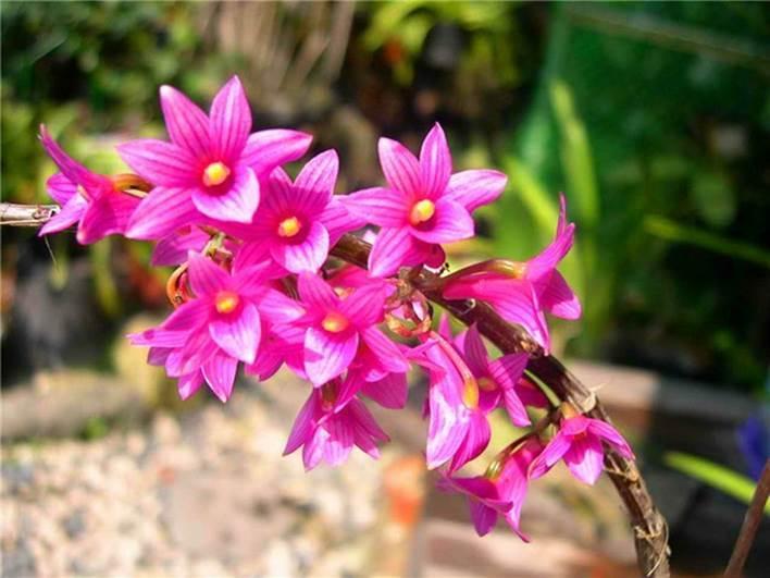 #红花石斛  的花期 红花石斛的花期可以说是比较长的,但是它具有不固定性,具体的开花时间不是非常的固定,但是它通常是在3月份——11月份之间,不定时的开花。   红花石斛的开花形态 红花石斛是四大观赏洋花之一,它的观赏性自然是很高的。红花石斛开花的时候,花朵多为紫红色,一串花枝上有10朵左右的小花簇生在一起,每一朵小花都非常的漂亮。 红花石斛的花朵多是由6片花瓣组成的,花瓣微微展开,每一片花瓣上面都有着清晰的纹脉,呈现倒卵圆状,黄色的花蕊可以说是非常明亮的点缀。   红花石斛的花语 红花石斛的花语是欢迎你,亲爱的。它常常被认为是忠厚可亲和刚强的象征。在西方,人们经常把红花石斛赠送给自己尊敬爱戴的长辈,一般都在每年的6月19日,将它送给自己的父亲,所以红花石斛,也被称作是——父亲节之花。  红花石斛经常和非洲菊以及圆叶桉树等配合制成胸花,或者是配上丝石竹和天冬草,表示欢迎光临的意思。此外,红花石斛还经常用于大型的宴会上以及开幕式上。   红花石斛开花图片欣赏