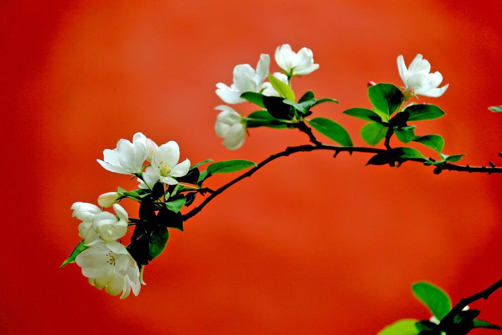 3月份时值惊蛰、春分,这个月的气温最高为27.6℃ ,最低为-4~-5℃,平均为6.4℃,本月正处在寒暖交替的时候。    一、水仙、春兰、瑞香、梅花等香花,以及蟹爪兰、兔子花以及其他如瓜叶菊、报春花等草花,正处在盛花期,其管养方法基本和2月相同。    二、茶花已开始怒放,为了延长赏花时期,应注意:     室温不要过高,日照时间不要过长,室内空气要流通,防止闷热不通风的环境。否则,会缩短花期,并导致叶黄脱落。      盆土不要过干过湿,否则会引起落蕾和掉叶。     通过疏蕾,摘去过多花苞,使之开花大,色彩艳丽,同时,能控制它分批开花,以延长花期。对小棵株茶花,更不要使之多开花,否则,因营养消耗过多,影响今后生长。     三、做好畏寒花木的出房准备。其方法:遇气温上升时,室内白天打开窗户10天左右,让它接受阳光和空气,适应从室内到室外的环境,到4月清明前后,再逐步移至室外培养。    四、对百枝莲、令箭荷花、君子兰以及金橘等花木,通过整枝修剪和去除枯黄残叶后,应追施氮磷结合的肥料,除君子兰外,肥量可略浓一些,促使它从4月起生长、育蕾和开花。    此外,3月下旬起,对一串红、鸡冠花、凤仙花、牵牛花、茑萝、雁来红、千日红以及大丽花、美人蕉、唐菖蒲等花卉,陆续做好播种和种植工作。同时,继续抓紧对松柏、红枫等的嫁接或扦插。    草坪养护工作  进入3、4月份,休眠一冬的草坪开始返青。     梳理草坪、清除枯草层。     检查草地,对草坪中的低洼处,应加上肥土铺平,对成片的班萎及质量差的草坪应安排计划及早补种。     浇返青水。    做好草坪养护机具的年初检修养护工作。