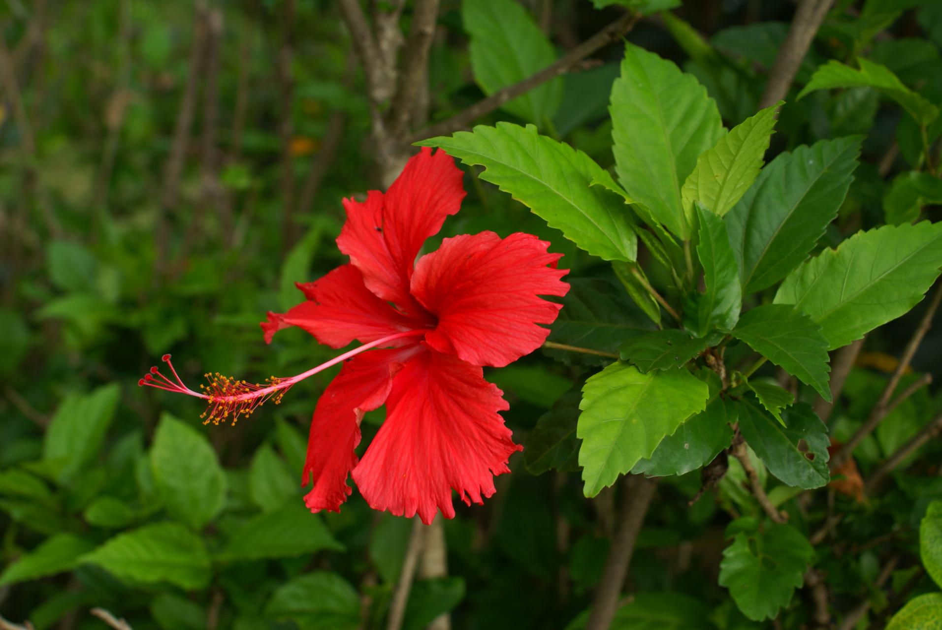 Hibiscus rosa sinensis china rose green fingers gfinger is the flower color red to dark red bloom time in summer and autumn description hibiscus rosa sinensis is a bushy evergreen shrub or small tree izmirmasajfo Image collections