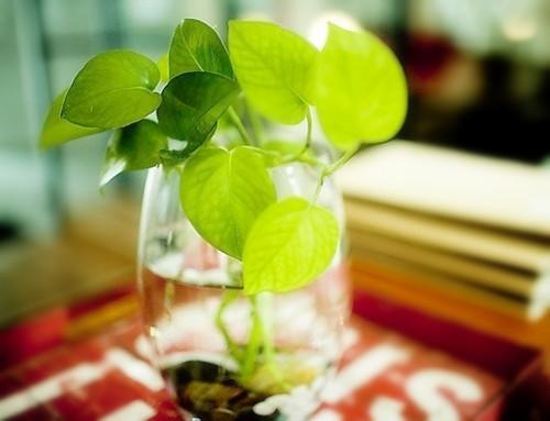 适合 #水培的花卉  主要有: 1)天南星科 天南星科花卉对水栽的条件有着极大的适应性。在用水插繁殖时,不但能在较短的时间内发根,而且生根后能迅速生长,并形成观赏性较好的株形。  适宜水栽的天南星科花卉有绿萝,广东万年青,斑马万年青,星点万年青,龟背竹,迷你龟背竹,银苞芋,绿巨人,红宝石喜林芋,绿宝石喜林芋,琴叶喜林芋,合果芋,海芋,火鹤花,马蹄莲等。其中,火鹤花,马蹄莲,银苞芋等,还能在水栽条件下开出鲜艳的花朵。  2)鸭趾草科 几乎所有的鸭趾草科花卉都能适应水栽的条件。如紫叶鸭趾草,紫背万年青,淡竹叶,吊竹梅等,都能在水栽时迅速生根,生长。  3)百合科 绝大多数百合科花卉都能适应水栽的条件。如芦荟,点瘟十二卷,吊兰,朱焦,龙血树,马尾铁,虎尾兰,龙舌兰,金边富贵竹,海葱,银边万年青,银边吉祥草等。百合科中的酒瓶兰不宜水栽;朱焦,龙血树,马尾铁等花卉高温时会产生烂根,但入秋天气转凉后能重新发根生长。  4)景天科 景天科花卉也是比较适宜水栽的种类,如:莲花掌,芙蓉掌,银波锦,宝石花,落地生根等,在水栽条件下生长良好。景天树等花卉在夏天高温时会产生烂根,但秋天转凉后能重新发根。  5)其他适应水栽条件而生长良好的花卉还有以下一些: 桃叶珊瑚,旱伞草,彩叶草,紫鹅绒,蓝松,竹节海棠,牛耳海棠,君子兰,兜兰,变叶木,银叶菊,仙人笔,蟹爪兰,三角柱,龙神木,吊凤梨,姬凤梨,金粟兰,龙骨,彩云阁,金钱豹,红背桂,六月雪,爬山虎,四海波,长春藤,肾蕨,鸟巢蕨,棕竹,袖珍椰子,蜘蛛抱蛋等。