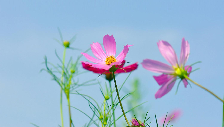 """最近有花友问干货君,为啥好多花都被叫成了格桑花,而且格桑花、各种菊花、桔梗等等的傻傻分不清楚。 接下来干货君就给大家讲一下,格桑花到底是个什么鬼?  在说格桑花之前咱们先来看看什么是桔梗。  #桔梗  (Platycodon grandiflorus),别名包袱花、铃铛花、僧帽花,是多年生草本植物,茎高20~120厘米,通常无毛,偶密被短毛,不分枝,极少上部分枝。叶全部轮生,部分轮生至全部互生,无柄或有极短的柄,叶片卵形,卵状椭圆形至披针形,叶子卵形或卵状披针形,花暗蓝色或暗紫白色,可作观赏花卉;其根可入药,有止咳祛痰、宣肺、排脓等作用,中医常用药。在中国东北地区常被腌制为咸菜,在朝鲜半岛被用来制作泡菜,当地民谣《桔梗谣》所描写的就是这种植物。单凭名称,有人会误以为桔梗乃桔子的梗,但实际上与桔子或柑橘属没有直接关系。 其实桔梗的根就是东北这边常吃的狗宝咸菜啊亲们!  接下来咱们言归正传,说说这个格桑花! 为什么好多花都和格桑花好像? 格桑花到底是什么花? 到底有没有格桑花这个植物? 格桑花到底是不是黑户? 让我们带着这一系列的问题来了解一下格桑花是什么,你就知道为啥好多花都与格桑花傻傻分不清楚啦!  格桑花又称格桑梅朵,具体为何种植物存在广泛的争议。在藏语中,""""格桑""""是""""美好时光""""或""""幸福""""的意思,""""梅朵""""是花的意思,所以格桑花也叫幸福花,长期以来一直寄托着藏族人民期盼幸福吉祥的美好情感。 西藏自治区高原生物研究所依据民族植物学方法,对格桑梅朵原植物进行过研究探讨。根据相关文献研究及关键人物的访谈,表示大量的藏族影视、歌曲、西藏的期刊杂志上被视为格桑花的波斯菊并不是真正的格桑花。从广义上说,""""格桑梅朵""""极有可能是高原上生命力最顽强的野花的代名词,而从植物学特征上讲菊科紫菀属植物和拉萨至昌都常见的栽培植物翠菊,都符合格桑花的特征 。另外在藏区也有如:金露梅、狼毒花、高山杜鹃、雪莲等植物称为格桑花的说法。  所以说,格桑花也许只是西藏人民心中美好的象征,并不是一种具有实际科属的植物。  那咱们接下来说说那些常常被认为是格桑花的植物吧!  紫菀属以及 #翠菊   单纯从植物学上考虑,格桑花应是资源丰富、广布藏区的菊科紫菀属(AsterL.)植物和翠菊(Callistephus chinensis (L.) Nees)。在园艺中,人们通常按照习惯,把分类变更之前及之后的植物都统称为""""紫菀"""",广义的紫菀属还包括其他邻近的属,这些邻近的属在西藏有狗娃花属(Heteropappus Less.),翠菊属(Callistephus Cass.)等。紫菀属的很多植物不仅是传统药用植物,而且像缘毛紫菀(Aster souliei Franch. )可用于治疗瘟疫、中毒症等疾病,这个属的其他种也有相近的药用价值,所以符合民间传说中格桑活佛的故事。蒙古人传播来的翠菊在寺院和很多人家种植盛开时代,是西藏历史上继吐蕃王朝灭亡之后出现空前盛世的时代,八思巴成为元朝帝师。八思巴在世任国师或帝师期问,除了推动藏族地区的政治经济文化全面发展之外,为元朝的稳定、发展以及全国各民族间的团结和文化交流,均作出过巨大贡献。那个时代的人们就把翠菊叫""""格桑花"""",印证了""""格桑花""""本身的含义和蒙古人把翠菊种子带到西藏的民间传说。  波斯菊 很多人都把 #波斯菊  认为是格桑花,而这种花在藏区另有其名,叫""""张大人花""""。网络查询""""格桑花""""的图片,展示较多的也是""""张大人花""""--波斯菊。而波斯菊原产墨西哥及南美其他地区,别名秋英、秋樱(学名:Cosmos bipinnata Cav. )为菊科秋英属一二年草本植物。虽然波斯菊是许多像《八瓣格桑花》这样的影视作品或西藏大量的期刊杂志、歌曲上代表格桑花的植物,但是拉萨人称这种花为""""张大人花"""",却是因为此花是清末驻藏大臣张荫棠带到拉萨的。据称,1906年,清廷任命张荫棠为副都统,以驻藏帮办大臣的身份,到西藏办事,借以挽回政令不通的危局。1906年11月,张荫棠进入西藏。进藏时曾带入各种花籽,试种后,其他花籽无法生长,唯有一种花籽长出来呈""""八瓣""""形,且耐寒,花瓣美丽,颜色各异,清香似葵花,果实呈小葵花籽状。一时间,拉萨家家户户都争相播种,这种花生命力极强,自踏上这片高天阔土,就迅速传遍到西藏各地。然而谁都不知道此花何名,只知道是驻藏大臣张荫棠大人带人西藏,因此起名""""张大人""""。当时,西藏通晓汉语的人很少,而会说""""张大人""""这一词汇的藏族百姓却大有人在。许多不会说汉语的藏族老人谈论此花时,也能流利地说出""""张大人""""这3个汉字  。所以从物种引入中国的时间上来说,波斯菊绝对不是严格意义上的格桑花。  金露梅 另外还有部分说法称蔷薇科委陵菜属的 #金露梅  (Potentilla fruticosa L.)为格桑花的情况。金露梅广泛分布于北半球亚寒带至北温"""