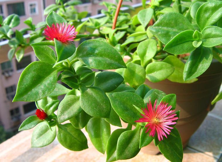 关于《你的吊兰养几年了不是死就是长不大?原来这么养才正确!》的养花文章正文开始>>  吊兰,叶色鲜翠,叶形如兰,清新雅致,是人们喜爱的常见家庭观叶花卉。另外它还有净化室内空气的独特效用,一盆吊兰相当于一个空气净化器,能吸收室内的毒害气体,它给人们带来更大的益处,这是人们喜欢在室内种植它的重要原因之一。还有人在刚装修完的房子里摆放大量的吊兰用于有害气体的中和。  然而虽然吊兰是种极易种植的观叶植物,但很多花友还是会出现吊兰植株干枯死亡或者生长不旺盛。  实际上吊兰性喜温暖湿润、半阴的环境。它适应性强,较耐旱,不甚耐寒,不择土壤,在排水良好、疏松肥沃的砂质土壤中生长较佳,要求土壤疏松,盆土偏干。养在室内要少浇水,保证盆土潮湿即可,可以经常向叶面喷清水。注意这些就能保证吊兰的正常生长。  四季只要环境温度在10°以上,吊兰都可以进行换盆操作,合适的土壤以及根据植株的大小选择合适尺寸的花盆进行移植即可。   吊兰的最大特点在于成熟的植株会不时走出走茎,走茎长30-60厘米,先端均会长出小植株花葶比叶长,有时长可达50厘米,常变为匍枝而在近顶部具叶簇或幼小植株。所以它的繁殖需要进行扦插。扦插时,剪取吊兰匍匐茎上的簇生茎叶便可,上面有叶片,下面一般会有气生根。  叶尖干焦发黄的处理  养吊兰虽不费事,但如不注意管理,就很容易使叶尖干焦发黄。吊兰喜半阴环境,如放置地点光线过强或不足,叶片就容易变成淡绿色或黄绿色,缺乏生气,失去观赏价值,甚至干枯而死。如处于阳光直射、空气干燥的环境下,最容易引起叶尖枯焦。所以应放置于较阴凉通风处,并要经常向其叶面喷水,以增加环境湿度。  浇水不和施肥不当,也会引起吊兰叶片干枯现象。吊兰喜湿润,但浇水过里或排水不良,就会引起烂根,使植株生长不良,引起枯焦死亡。吊兰较喜肥,肥水不足,植株易发生叶片黄绿、枯尖现象。但施肥也不宜过最,要视生长情况,合理施肥。越冬要防止冻害,室温不低于4℃。