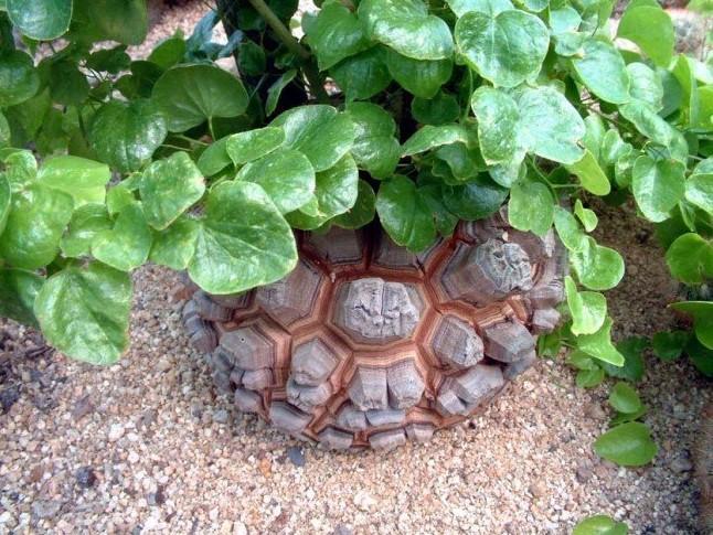 本文的龟甲龙品种介绍是一些常见的,比较适合新手花友,龟甲龙主要分为夏型种和冬型种。夏型种,顾名思义,夏天生长,不休眠。与之对应的冬型种,冬天生长。其实严格的意义来讲,是受温度的影响,冬型种夏季凉爽也不休眠。  新手如果是想如这个坑,推荐先入Dioscorea elephantipes,也就是市面上常说的南非龟甲龙,价钱便宜,观赏性高。我习惯叫他象足龟,因为南非种不只这一个。便宜的种子一块钱一粒,小苗十块。(价格仅供参考。)小苗的分辨方法很简单,长的圆的,便宜的就是,别的龟一般都没象足龟圆,也没他便宜。叶片为偏圆形的心形。随便入手几个,先养养熟悉习性。来年也可以试试播种。  小资花友,觉得一种养着没啥意思,那我推荐您再加一种夏型种,D. mexicana,又名D. macrostachya,市面上叫墨西哥龟甲龙。也是比较常见的。这种块根没象足的圆,叶片也是细长,有明显的横纹,相对来说也是很好分辨的。价格比象足高了几倍不只。有的个别黑心卖家会用D. hemicrypta(也是夏型种)来当作D. mexicana卖,当然很大部分都是良心卖家,他们叶片差距还是很大的。入手之前需仔细分辨。  比较富裕的花友,或是有收集癖的花友(楼主是后者),想多入几样玩玩的。我再推荐几个相对观赏性比较高的。冬型种,D. rupicola。夏型种,D. hemicrypta和D. sylvatica。  我下面介绍介绍上面这五种的简单的分辨方法。  首先是夏型种和冬型种,这个简单,看休眠就很容易看出来。我单独介绍一些明显的特点吧。  D. elephantipes,冬型种,便宜!球圆!叶片偏圆形的心形,爬藤没其他四种爬的积极。  D. rupicola,冬型种,球类似于橄榄型,没象足圆,叶片差不多。  D. mexicana,夏型种,市面上卖的贵!叶片很长,有明显横纹,叶片差异明显。  D. hemicrypta,夏型种,叶片不是标准的心形,边上有棱。球形与D. rupicola类似。  D. sylvatica,夏型种,这货差异很明显。球形不圆,而且这货生长的时候会迅速长茎不长叶,爬了老高才长叶。区别于其他四种先出叶的。  养护方面  D. elephantipes,半遮阴,夏季休眠喷水或盆沿少水。  D. rupicola,夏季休眠必须断水!连喷都不喷。  D. mexicana,半遮阴,忌冬天低温。  D. hemicrypta,背阴!千万避免夏季强光。  D. sylvatica,养护同D. mexicana。  配土方面,我就说我的吧,仅供参考。  播种与苗期:大颗粒1份,小颗粒3份,泥炭5份,蛭石1份。  成熟期:大颗粒增加2份,小颗粒和泥炭减少1份。  怕烂根的,多一份颗粒。  网上的图感觉看着不明显,手绘一张,凑合着看吧,如有不对,欢迎大神指出。  看完给大家留个作业(文中配图),分辨一下这几种叶片分别对应哪种的。图片1,2,3,4分别属于哪种?