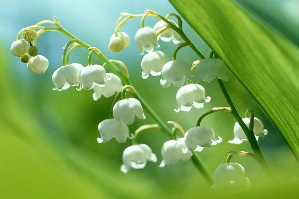 关于《怎么养护夏季休眠花卉》的养花文章正文开始>>  水仙、仙客来、倒挂金钟、郁金香这类花卉在夏季会进入休眠或半休眠状态,此时新陈代谢缓慢,生长停滞。还有大岩桐、四季海棠、天竺葵、小苍兰、令箭荷花、马蹄莲等也是这样。因此,夏季养护时应针对上述花卉这一生理特点,采取相应的措施,精心护理,才能使其顺利度过休眠期。  将休眠的植株放在荫凉、通风地方,避免强光照射和雨水淋浇,否则易造成烂根,甚至导致整株枯死。  要严格控制浇水,此时浇水过多,盆土太湿,极易烂根。浇水过少,又易使根部萎缩,而以保持盆土稍湿润为宜。  停止施肥,休眠期间由于生理活动极微弱,不需要肥料,所以不能施任何肥料。不然,容易引起烂根、烂球,乃至整株死亡。此外,对于仙客来、郁金香等球根花卉,也可在夏眠后将球根掘起,放凉爽、通风、干燥处贮存。
