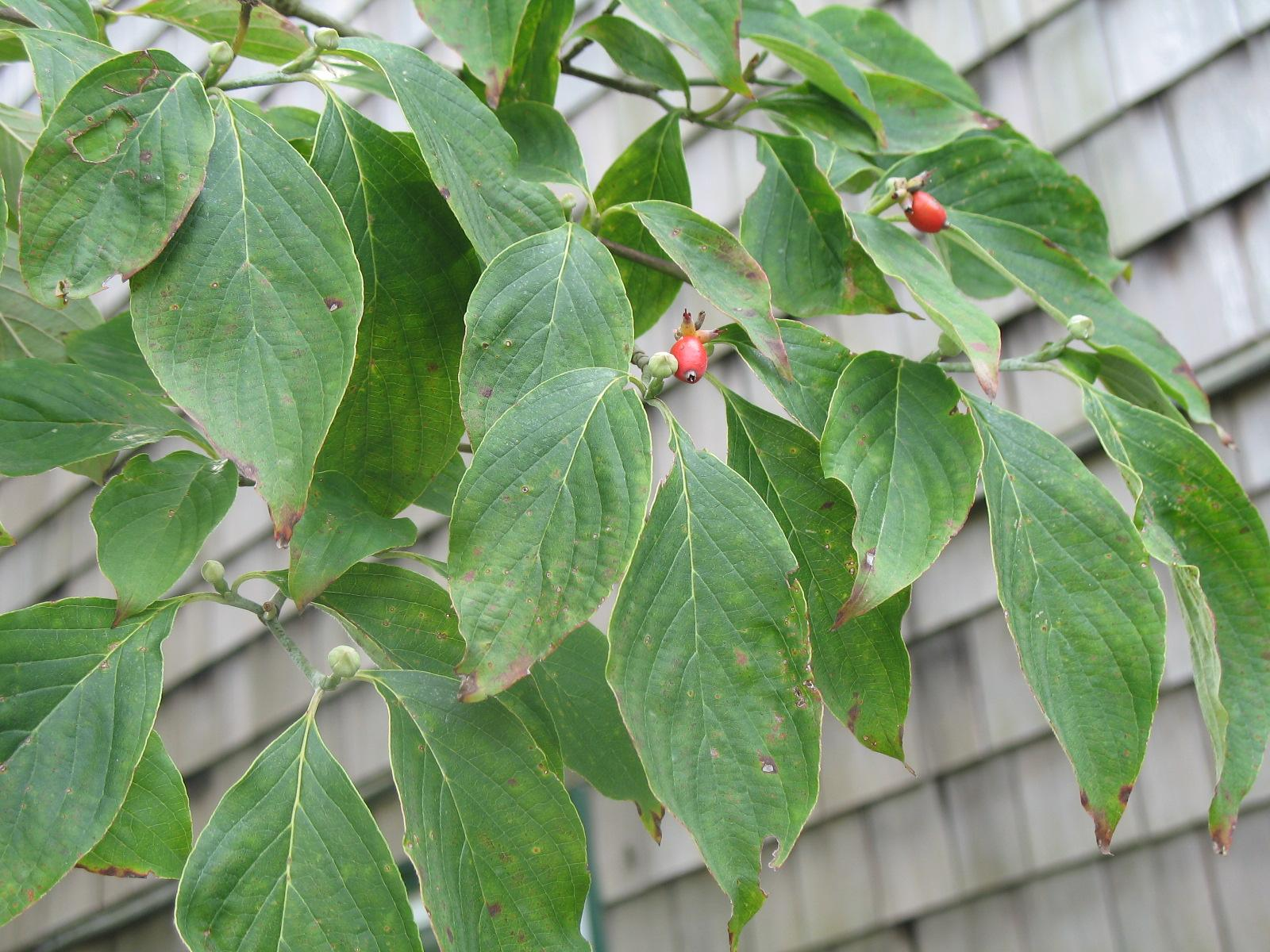 Treating Sick Dogwood Trees: Reasons For A Dogwood Tree With Yellow ...