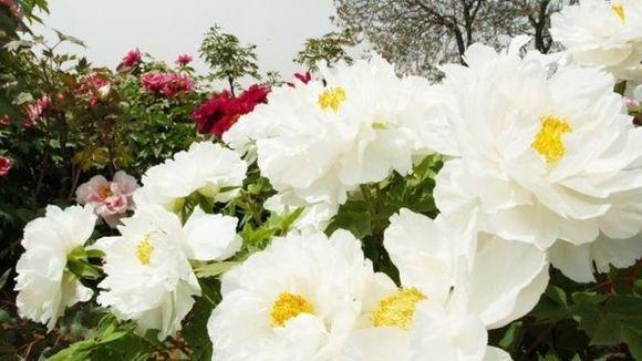 """有的花友不知道 #白牡丹  怎么养,白牡丹被比喻为:""""普货""""中的""""战斗机""""可见是多么好养了,白牡丹有叫""""白丽""""的,为景天科风车草属的""""胧月""""与拟石莲花属的""""静夜""""的杂交品种。  白牡丹,多年生肉质草本。植株生长较快,易生出分枝,形成群生株。叶子,倒卵形,互生,排列紧密成莲花状,叶端有小尖,叶背凸起,似龙骨突,肥厚。叶子表皮的颜色并非白色,而是绿色或是蓝色,不过被有淡淡的白粉,在光照下常常浮现灰白色,其叶尖在强光且干燥少水下,会出现轻微的粉红色,秋冬季节温差加大时,叶片也会泛红。花期春季,聚伞花序,花铃状、黄色,5个花瓣,背面有浅红色细点。同是白牡丹,由于生长环境和条件等不同,它们的叶色和叶形会略有不同。  白牡丹,冬型种。喜温暖、干燥和通风的环境。适应力强,喜光、耐旱,也稍耐寒、耐阴。忌烈日暴晒和盆土积水。生长适温15-25摄氏度,冬季不低于5摄氏度。全日照,生长期一定要充分见光,否则就会""""徒长没商量""""。浇水坚持土干透后再浇水,一般1个月1次足矣。夏季适当遮荫和注意通风,冬季控制浇水,在室内向阳处过冬。介质以肥沃、疏松即可。繁殖采用扦插,其中叶插也极易成活。"""