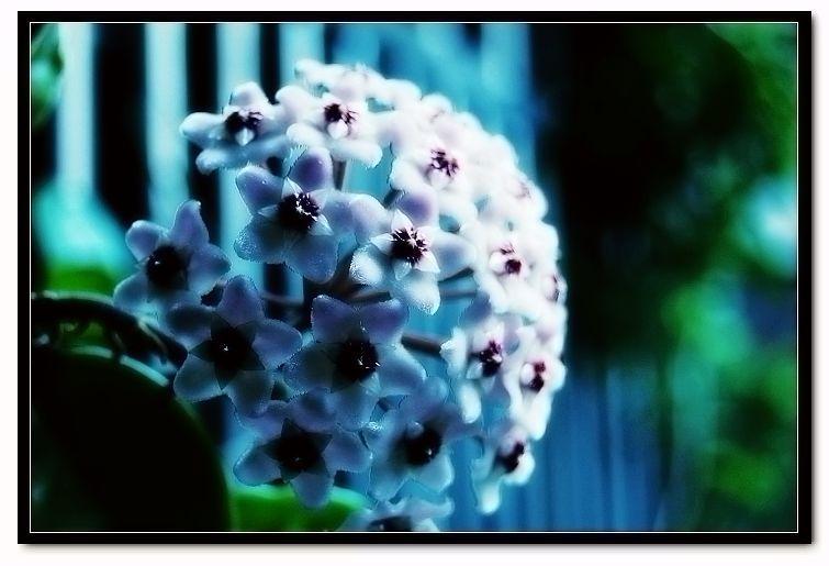 """#花叶球兰  是球兰(又名球兰)的一个栽培变种,为萝摩科球兰属的多年生常绿藤本,节上有气生根,叶对生,卵状,矩圆形,肉质肥厚,其叶缘上有乳黄和乳白色斑块,嫩叶还会呈现粉红色、黄白色等,十分美丽。夏秋从腋中抽出花轴,花为具短柄的伞形花序,常以12-15朵聚集成球形,故名球兰;又由于它的花肥厚肉质,看起来就像蜡制成的,氢在英语中称为""""蜡花""""。球兰的另一个变种皱叶球兰也常被人们栽培欣赏,其叶片扭卷盘绕于茎蔓上,奇特有趣。   #球兰  原产于我国华南及东南亚各国及大洋洲等地,原来都附生于树干、石壁上,喜温暖,耐干燥,适宜于生长在无酷暑、无严寒的环境,喜阳光,但忌烈日曝晒,其适生温度为20-25℃,冬季不宜低于7℃,在富含腐殖质且排水良好的土壤中生长旺盛。   #栽培花叶球兰  要有适宜的光照,因光照对其叶片色泽影响很大,若日照过强,叶色会泛黄,色彩粗涩而无光泽,一般春秋两季可接受阳光,6-9月应放半阴处,以遮荫,保持30%的光照,在室内应放置在侧窗户附近。栽培基质可用腐叶土2份,泥炭和粗砂各1份混合,加少许厩肥作基肥。浇水应不干不浇,浇必浇透。夏季高温时,生长较慢,注意盆土不要太湿,可适当喷水降温。冬季也要少浇水,保持盆土稍湿即可。肥料以基肥为主,生长季每月再追施2-3次液肥。  花叶球兰枝蔓柔韧,可塑性强,莳养者可随个人爱好制作各种形式的框架,令其缠绕攀援其上生长,形成多姿多彩的各种动植物形象,尽情欣赏。也可让其自然下垂,作悬吊栽培欣赏。此花的花枝多在前一年生的花枝上产生,所以修剪应在新枝产生后再进行。   #球兰繁殖  主要采用扦插法,也可压条。5-9月取半木质化的枝条1-3节作插穗,插中约20天即可生根;也可在春季剪枝扦插。又因其每个节处皆有气生根,故用压条法将其枝条压靠泥土,也易生根成长。  此花宜放置在透气处,若在通风不良环境中,会受到介壳虫、蚜虫的为害,因其叶厚光滑,少量虫可用人工清除,也可用喷药的方法将虫杀除。"""