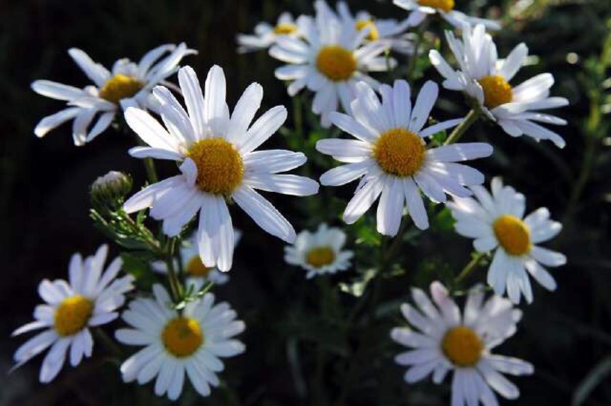 #太阳花    马齿苋科 马齿苋属  养花要点: 1、保证阳光充足的环境。  2、对土壤的要求不高,但是排水性良好的沙质土壤。  3、太阳花喜温气候,发芽温度21~24℃,约7~10天出苗,幼苗极其细弱,因此如保持较高的温度,小苗生长很快,便能形成较为粗壮、肉质的枝叶。  4、平时保持一定湿度,不必经常浇水,开花期需浇透。  5、半月施一次千分之一的磷酸二氢钾,可以达到花大色艳、花开不断的目的。   #矮牵牛     茄科 碧冬茄属  养花要点: 1、土壤,盆栽矮牵牛宜用疏松肥沃和排水良好的砂壤土。  2、浇水,防止过干或过湿。夏季应及时补充浇水,雨季需及时排水防涝。  3、光照,需要较强的光照,如能给予每天12小时以上光照,并且夜温在10℃以上,则可四季开花。  4、矮牵牛不耐霜冻,生长适温为13~18℃,冬季温度在4~10℃,如低于4℃,植株生长停止。夏季能耐35℃以上的高温。   5、小苗生长前期应勤施薄肥,肥料选择氮、钾含量高,磷适当偏低的,在3~4月勤施复合肥,视生长情况,适当追施氮肥。   #长寿花    景天科 伽蓝菜属  养花要点: 1、土壤,疏松肥沃、排水性能好,呈微酸性反应。  2、浇水,生长期间只要每隔2~3天浇一次透水,保持盆土略湿润即可。冬季温度低时更要控制浇水。  3、光照,长寿花喜欢阳光充足,一年四季都应放在有直接阳光照射的地方。  4、温度,长寿花生长最适宜的温度为20~25℃。超过30℃或低于10℃,就很明显地停止生长。  5、施肥,生长旺季可每隔15~20天施一次稀薄复合液肥,促使生长健壮、开花繁茂。   #六倍利    桔梗科 半边莲属   养花要点:  1、土壤,喜富含腐殖质疏松的肥沃土壤。  2、浇水,保持盆土湿润即可。浇则浇透。  3、光照,必须在全光下才能正常生长。必须放在阳光能够直射到的地方才可以。  4、温度,耐寒力不强,北方无法露地越冬,忌酷热,夏天温度高时进入休眠状态。  5、施肥,根据需要有选择的施肥,生长季节多施肥,冬季温度低时,停止施肥。   #天竺葵    牻牛儿苗科 天竺葵属  养花要点:  1、土壤,喜欢沙质土壤。  2、浇水,适合的加水频率是两三天一次,浇则浇透。  3、光照,喜光,夏季禁暴晒。  4、温度,适合生长温度为1-~20摄氏度,冬季室内温度不能低于0摄氏度。   #蔓枝满天星    石竹科 石头花属  养花要点: 1、土壤,排水性良好的土壤。  2、浇水,苗期对水分的要求较高,有花苞长出来之后要控制浇水。  3、光照,喜光,夏季忌暴晒。  4、空气流通的情况下生长最佳。   #玛格丽特    菊科 木茼蒿属  养花要点: 1、土壤,喜欢疏松透气的土壤。  2、浇水,不干不浇,浇则浇透。  3、光照,需要全日照,但是夏季的时候要遮阴处理。  4、施肥,每半月施加一次叶面肥即可。  5、总体来说,玛格丽特的生命力顽强,粗放管理也可以长大的!   #酢浆草    酢浆草科 酢浆草属  养花要点: 1、土壤,喜欢疏松透气的土壤。  2、浇水,不干不浇,浇则浇透。  3、光照,喜光,多晒阳光,但是夏季禁暴晒。  4、温度,适合生长温度为16~22摄氏度,冬季室内温度不能低于5摄氏度。  5、施肥,生长季最好是一个月一次氮磷钾结合的肥料,7~8月份以及冬天的时候停止施肥。   #铜钱草    伞形科 天胡荽属  养花要点: 1、铜钱草大部分都是水培的。  2、营养液,在铜钱草的生长期间吗,可以适当的加入一些营养液。  3、光照,喜光,夏季禁暴晒。因为铜钱草的趋光性很强,要经常转动容器。  4、温度,铜钱草怕冷,冬季的温度不能低于0度。   #绿萝     天南星科 麒麟叶属  养花要点: 1、土壤,喜欢输送透气的肥沃土壤。  2、浇水,不干不浇,浇则浇透。  3、光照,绿萝不适宜直晒,可以放在室内养殖,太阳直晒会造成黄叶。  4、温度,一般室温20度以上可以正常生长,室温10度以上可以正常越冬。  5、施肥,入冬前,一浇喷液态无机肥为主,15天左右一次,入冬以后施叶面肥。
