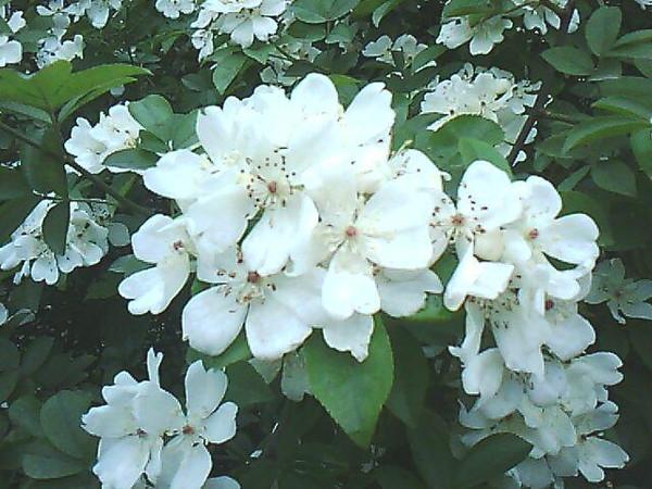 """关于《白刺花 盆景制作 盆景制作入门 白刺花盆景的制作及养护》的养花文章正文开始>>  白刺花,因形态与刺槐树相似,但较小,就有人称之为""""小叶槐"""",此外还有狼牙刺、苦刺花、马蹄针等别名,其深黑褐色树干铁骨铮铮,苍老古朴,叶片细小而密集,颜色浓绿,开花稠密,花色素雅,是干、花、叶俱佳的新型盆景树种。  盆景选材  白刺花的繁殖以播种、分株、根插为主,人工繁殖的树苗虽然生长较快,但树干增粗缓慢,而且直而无姿,缺少苍劲古朴之气,因此可考虑用生长多年,形态古雅而奇特的老桩制作盆景。  白刺花树桩的挖掘移栽以冬季至春季发芽前成活率最高,如果养护得当,栽后注意遮阴,只要不过""""五一""""节,一般都会成活。移栽时注意多带须根,栽种前对植株进行整形,去掉造型不需要的枝干,过长的主根也要适当短截,但应尽量保护须根和侧根,必要的过渡枝(也称比例枝)也应予以保留,枝干的伤口处可涂抹白乳胶等,以防治伤口脱水,并避免感染。先栽种在较大的瓦盆或地下""""养坯"""",土壤宜用不含太多养分、排水良好的素沙土,栽后浇透水,放在避风向阳之处或冷室内,冬季寒冷时用透明塑料袋将植株罩起来,以保暖保湿,有利于树桩成活。以后注意观察,土壤干燥时及时补充水分,以保持局部小环境的温暖湿润。随着温度回升,树桩会萌发很多新芽,但这并不表示已经成活,等两个月后新枝逐渐木质化,才算活稳。  树桩发芽后,可将塑料薄膜打开一个小口进行通风""""炼苗"""",使其逐渐适应外界环境,以后逐渐增加通风量,直到完全将塑料薄膜去掉,切不可一次将塑料袋打开,否则很容易因对外界气候不适应而""""回芽"""",使新发的枝芽萎蔫,严重时甚至造成树桩死亡。""""养坯""""期间给予充足光照,经常向枝干喷水,以增加空气湿度,保持盆土湿润,但要避免土壤积水,以防造成烂根,但也不能过于干旱,否则会使叶片萎蔫、干枯,严重影响其生长。生长旺盛时可适当施些腐熟的稀薄饼肥水,以提供充足的养分,促进植株生长健壮。生长期及时抹去多余的新枝、嫩芽,使养分集中供枝条增粗,并注意培养过渡枝,使其干与枝、主枝与细枝之间过渡自然、比例协调。  盆景造型 白刺花盆景的造型可根据树桩的形态加工成直干式、斜干式、曲干式、卧干式、临水式、双干式、一本多干式等多种形式。树冠既可加工成规整严谨的云片式、馒头形,也可制作成飘逸潇洒的自然式。造型可在生长季节、新枝尚未木质化或刚刚木质化时进行,此时枝条柔韧性好,不易折断。通常采用蟠扎与修剪相结合的方法造型,先用金属丝蟠扎出基本形态,以后剪去造型不需要的枝条,将过长的枝条截短,促发侧枝,使其枝节顿错有力,富有刚性。白刺花萌发力强,宜萌发不定芽,应随时抹除枝干、根部上多余的芽,以免消耗过多养分,影响枝条增粗。  造型好的白刺花盆景可在春季移入紫砂盆、瓷盆之类的观赏盆,盆的颜色可选用米黄、红褐、蓝等颜色,而不宜用与其花色接近的白色花盆。上盆时注意植株在观赏盆中的位置,根据造型的需要进行提根,使其悬根露爪,苍劲古朴。并对盆面进行处理,做出自然地貌,使盆景达到最佳观赏效果。  养护管理  白刺花喜温暖湿润和阳光充足的环境,耐寒冷,怕积水,稍耐半阴。对土壤要求不严,但在疏松肥沃、排水良好的沙质土壤中更好。制作好的盆景生长季节可放在室外空气流通、阳光充足处养护,即使盛夏高温季节也不必遮光。生长期浇水掌握""""不干不浇,浇则浇透"""",避免盆土积水,否则会造成烂根,而过于干旱则会引起叶片发黄脱落,这些都不利于盆景生长,严重时还会造成盆景死亡;每15至20天施一次腐熟的稀薄液肥,开花前可增施1至2次以磷钾为主的液肥,以提供充足的养分,延长花期。9月以后则要停止施肥,以免新梢过度生长,不利于越冬。冬季置于冷室内或室外避风向阳处越冬,控制浇水,但不能完全断水,以免土壤干冻,对植株造成伤害。白刺花盆景在春季易受倒春寒的危害,应注意防范,尤其是已经翻过盆的,更要注意这点,否则很容易造成死亡。  白刺花萌发力强,枝叶生长较快,生长期枝干及根部容易发芽,应随时抹去,注意打头摘心,将过长的嫩枝截短,以控制生长,保持盆景的优美。花后注意摘除荚果,以免消耗过多养分,影响植株生长。每年春季萌发前进行一次修剪整形,剪去枯枝、病虫枝、细弱枝、交叉重叠枝、平行枝以及其他影响树形的枝条,过长的老枝也要短截,以促发健壮的新枝。每1至2年的春季萌动前翻盆一次,盆土可用园土2份、沙土1份、炉渣0.5份混合配制,并掺入少量的碎骨块、蹄甲或过磷酸钙等磷钾肥作基肥。  白刺花的主要病虫害是天牛、蚂蚁,应注意观察,及时杀灭,以免造成危害,影响盆景生长。"""
