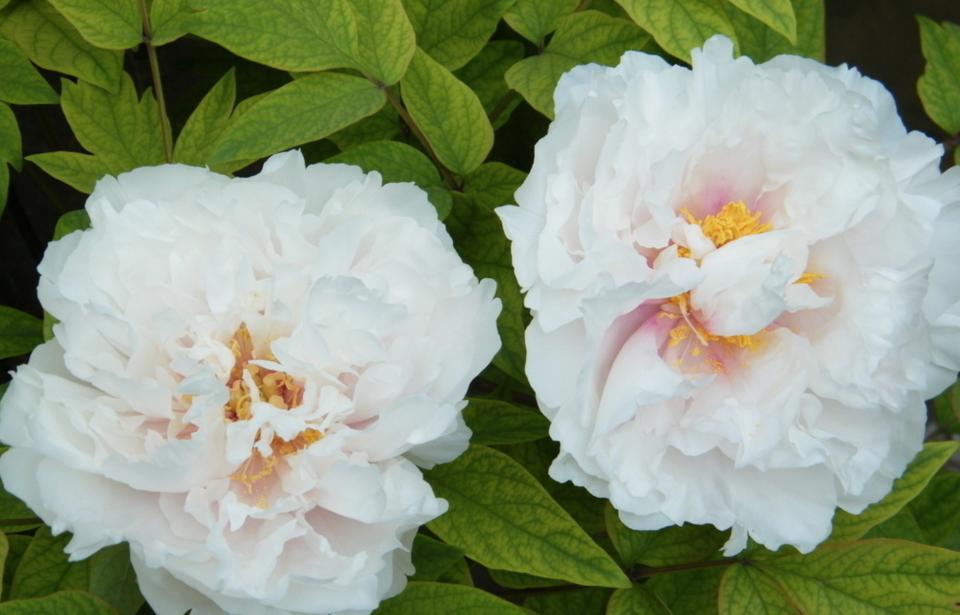 金星雪浪 属牡丹的一种,爱她有一种冰清玉洁的美。白牡丹寓意高洁、端庄秀雅、仪态万千、国色天香。它 Gfinger