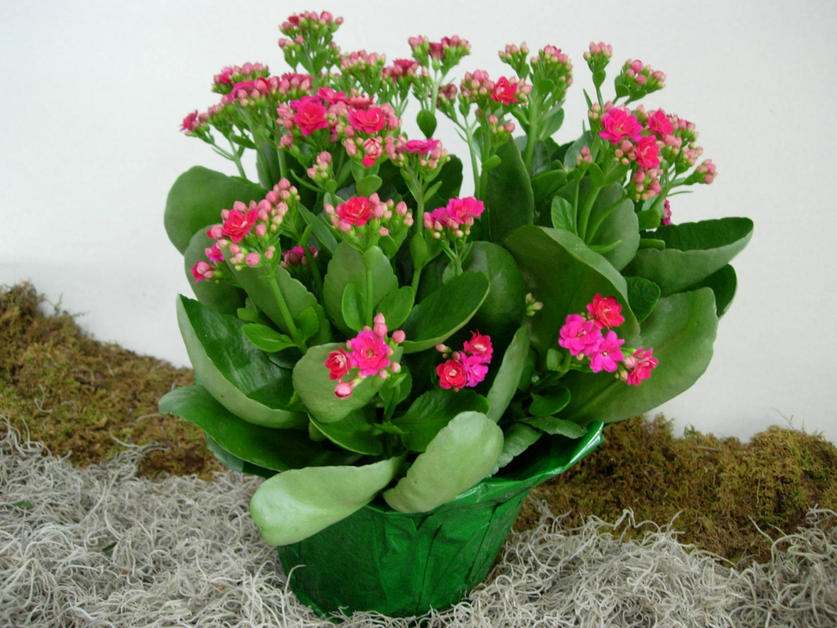 kalanchoe care tips on how to grow kalanchoe plants green fingers gfinger is the most. Black Bedroom Furniture Sets. Home Design Ideas