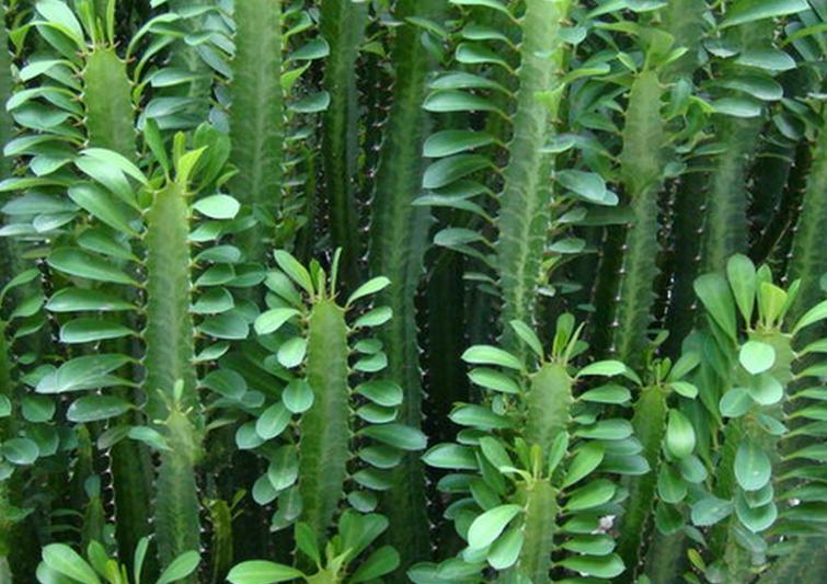 #龙骨  ,就是仙人掌科量天尺属的植物。它又叫做剑花、量天尺花、霸王花、霸王鞭等。它的茎极长,绿色、肉质,常收缩成节,有阔棱3条,棱边作波浪形,叶退化成刺于棱边腋间的小窝孔内,利用气根攀登于灌木或乔木上或墙上,花单生,于晚上开放,日间闭合,白色,花大型,花期夏、秋。肉质浆果椭圆形,长约10厘米,红色,有鳞片,熟时近平滑,即常说的火龙果。  龙骨,在家居的应用上,除了具有化煞的作用以外,还具有很好的净化作用,对于新装修的家庭和写字楼之间的房子来说,对甲醛、苯、氡、氨、TVOC有很好的吸附效果。  不过,将龙骨种植在室内要比较注意,因为龙骨肉质茎上有锐刺,而且茎中白色的乳汁有毒,尤其不能入眼,所以在家中培养是要特别注意放置地点,以避免儿童和老人扎伤中毒。再者,龙骨花耐干旱,耐晒,适于阳光充足的地方,不宜在室内比较阴暗的地方,所以置于室内观赏的龙骨花,应尽量放在靠近日光的窗边。  龙骨的花大而霸气,而且龙骨是仙人掌科的,仙人掌,给人感觉就是生长在沙漠中生命力极强的植物,所以在家中种上一盆龙骨,寄给家里增添霸气的感觉,也增添不少生机。