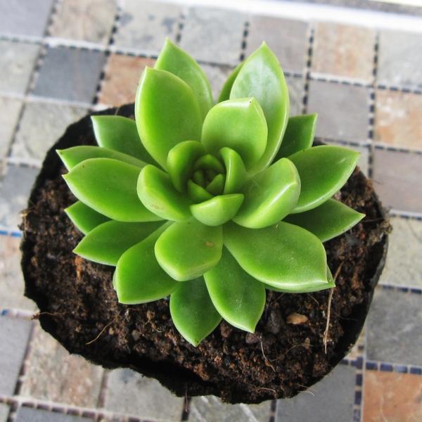 有花友不知道 #青丽  怎么养,青丽属于夏季休眠的多肉植物但休眠期不明显,生长速挺快,喜光照又有点耐阴,相比黄丽来说不那么容易徒,但充分的光照下植株会显得更紧凑翠绿,光线不足虽然也能生长,但颜色会显得比较浅,当叶心间发白就是光照不足的征兆了,应适当增强光照。  青丽就如同标题中的小家碧玉一样(循规蹈矩,不产生侧头),植株的生长会保持非常标准的莲花状往上拱,下部叶片一般也不会干枯,所以种植的时间久了,会呈现宝塔莲花状。     浇水:青丽总的来说还是比较好养的,浇水可比较随意,配土接近干透或者半干的时候,就可以浇透一次水,青丽还是比较耐干旱的,所以不需要也不要让土壤长期保持潮湿的状态,尤其夏天的时候,可能导致植株下部腐烂。配土可选择透气排水性良好的土壤,如泥炭土、颗粒土1:1的比例配置。  光照:除了盛夏适当遮阴,其余时间均可全日照,充足的光照,可以让青丽的叶尖和边缘泛红,如此,小家碧玉更易打动人。青丽弱光状态下也可以成长,相比其他多肉较不易徒,但是当叶心泛白的时候,就是光照不足的征兆,应适当增加光照。  通风与缓苗:所有的多肉都喜欢通风,可有效避免病菌滋生。缓苗期间可用潮土种下将青丽放在明亮通风处1-2周,再逐渐增加光照,期间可酌情浇水,如土表感觉很干的时候。  度夏与越冬:夏季温度上30℃的时候,应适当遮阴,加强通风,节制浇水。冬季温度低于5℃,应控制浇水,若再低,则要搬进室内越冬,尽量选择向阳的室内。  繁殖:青丽的繁殖可选择枝插或者叶插,叶插枝插期间,应放置于通风明亮无直射光处,光照太强或太暗会抑制叶插的成功率,待小苗长出后,逐渐增加光照。  叶插:将青丽叶片掰下,晾1至2天,平放或斜插于粗砂/蛭石中,待长出根系后,可用土轻埋根系,待小青丽长大。  枝插:砍头后,将枝条放置3-5天左右(夏天或闷热潮湿的时间晾干时间应更长),待青丽枝条伤口完全干燥愈合再插入种植土中,枝插成功率较高,可选择平时的种植用土就行。