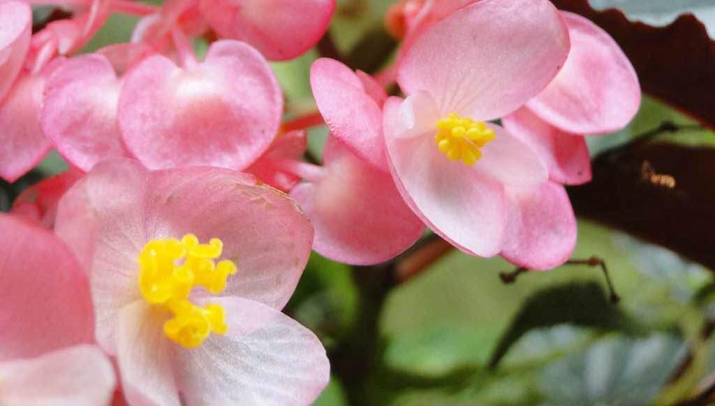 有人担心室内长期摆放植物会影响人体健康, 其实这是杞人忧天。  白天植物进行光合作用放出的氧气远远多于它本身呼吸作用时所需要的氧气, 夜晚虽然停止光合作用, 但它的呼吸也是极微弱的。  特别是观叶植物,观叶植物比观花植物的呼吸更微弱(观花植物在孕蕾和开花阶段呼吸量最大),所需的氧气量更少。  室内养殖观叶植物不但不会对人体造成影响, 反而有不少室内观赏植物对于人还有益处,比如:  #秋海棠  、  #文竹  、  #天门冬  等, 除了能吸收二氧化碳之外还能分必出杀菌物质, 有预防感冒、伤寒、喉炎等疾病的作用。 另外, 植物还可减低室内的灰尘、清洁空气、增加负氧离子, 使人们生活在一个清新健康的环境中。