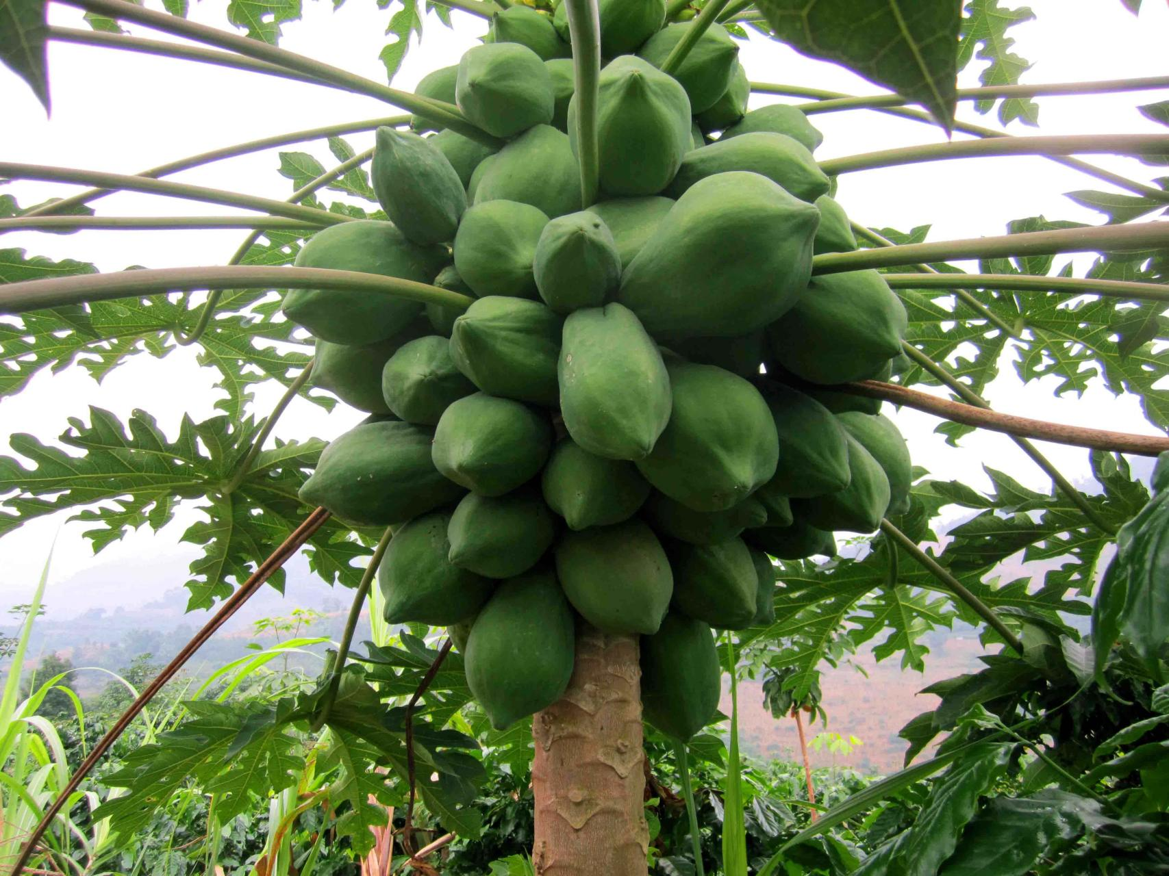 Learn how to grow papaya tree. Growing papaya is perfect for gardeners who like to grow easy to grow fruit trees. Papaya tree care is simple, it is low maintenance and productive.