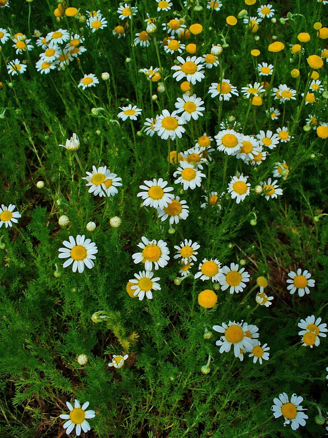 How to grow and care for a chamomile herb green fingers gfinger it is a creeping ground cover that grows like a mat it has small daisy like flowers with yellow centers and izmirmasajfo