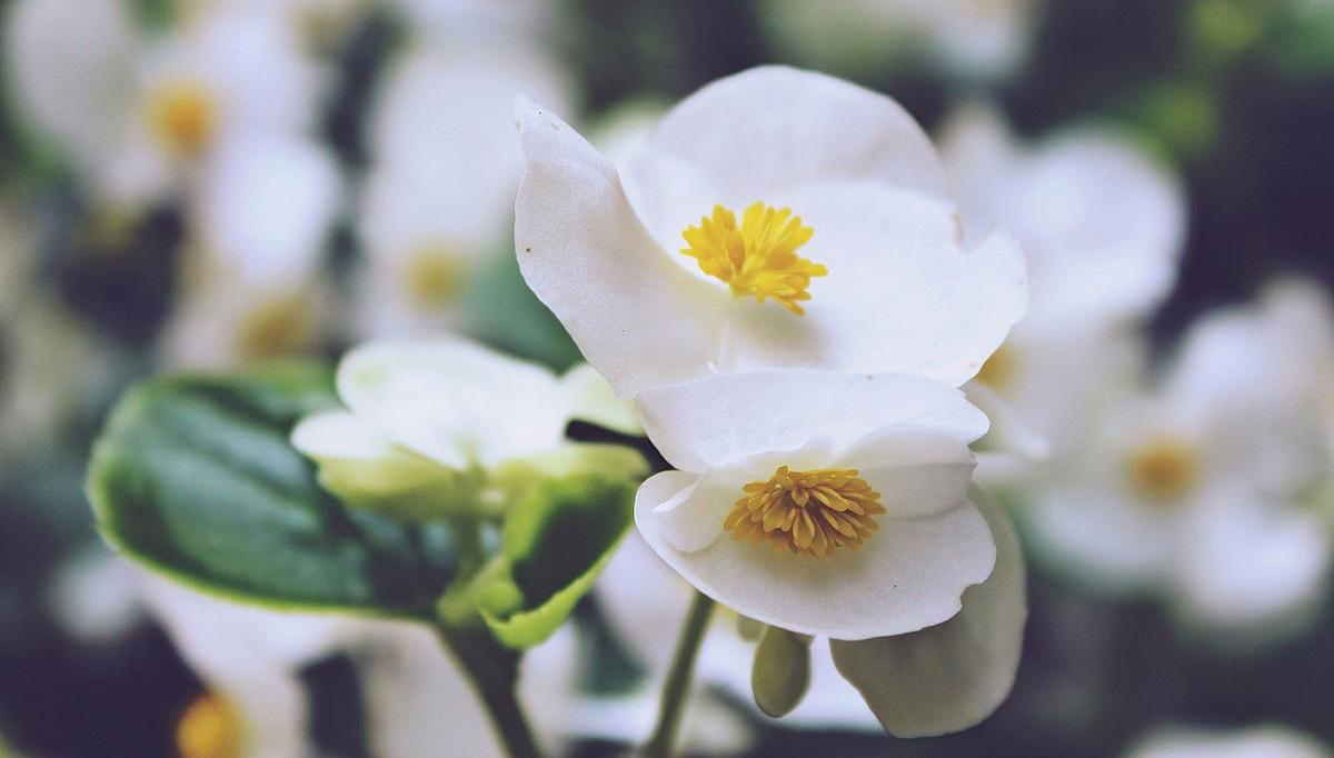 #四季海棠  又名 #海棠  、 #瓜子海棠  等,原产巴西,现我国各地均有栽培。  它属秋海棠科须根类多年生草本花卉。  盆栽观赏,小七玲珑,姿态优美,叶色娇嫩光亮,花朵成簇,四季开放,别具引人喜爱的雅韵。  四季海棠性喜温暖湿润和半阴环境,既怕干燥,又怕积水;既忌高温,又不耐寒。要求富含腐殖质、疏松、排水良好的微酸性砂质壤土。盆栽宜在春、秋季上盆培养,随着植株的生长,在出现5-6片真叶时,须进行摘心,以便促进分枝。四季海棠根系发达,生长旺盛,生长期需水量较多;它在半阴、温暖而空气相对湿度在80%以上的环境中生长最好。因引,栽培四季海棠的养护要点是:既要保持较高的空气湿度,但又不能让盆土经常过湿;宜保持较高的相对湿度,可经常用水向叶面及花盆周围喷雾,而浇水应使盆土见干见湿,特别要注意不能让盆土渍水,如盆土长期过湿,会引起烂根,甚至整株死亡。  四季海棠的花盆,平时可放在阳台或庭院的半阴养护,并注意荫,不可让强光直射。盛夏高温酷暑时节,植株处于休眠状态,要控制浇水,并将其放置在通风良好的阴凉。四季海棠上盆栽植半个月后可施一次腐熟的肥水,以后生长期每隔20-30天施一次清淡的肥水,初花出现后就应减少氮肥而增施磷、钾肥。花后除留种株外,应打顶摘心,控制株型,促进分枝。同时要浇水,待发新枝后再追肥。冬季移入室内须放置在有充足阳光处越冬,最低温度不得低于10℃。  四季海棠常见病虫害是卷叶蛾。此虫以幼虫食害嫩叶和花,直接影响植株生长和开花。少量发生时以人工捕捉;严重时可用乐果稀释液喷雾防治。
