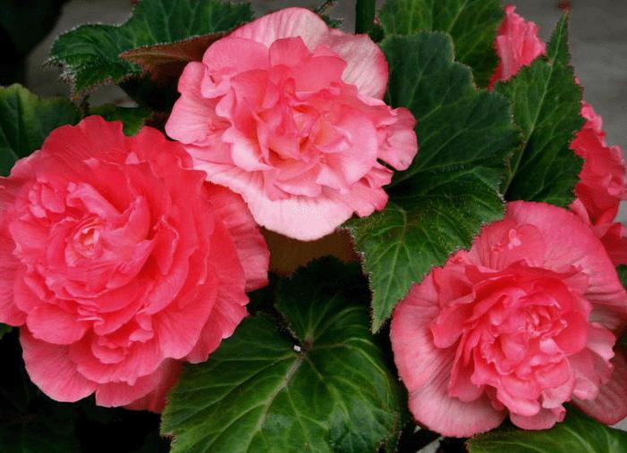 """球根海棠花朵大,有半瓣、半重瓣或重瓣之分,花色有白、乳白、黄、粉红、橘红、红、紫红或复色等,其姿、色均居秋海棠之冠。  (1)球根花卉属阴性花卉。怕酷暑,也不耐寒。生长适温为15~24℃,温度超过32℃时易造成叶片和花芽脱落。怕强光曝晒,在强光下易导致叶片增厚和卷缩。栽培用土可用腐叶土5份、园土3份、河沙2份混匀调制,另加少量骨粉作基肥。春季栽植,生根发芽后放室外半光处培养,入夏后移至通风遮阴处,也可放室内通风向阳地方,防止强光直射。     (2)其为浅根性植物。在萌芽期要少浇水,以保持盆土微湿为宜,否则易烂根。生长旺期要保持盆土湿润,夏季要经常喷水增加空气湿度。花期宜少浇水,使盆土处于半干状态为宜。深秋叶片枯黄后也要控制浇水,以利植株进入休眠期。冬季温度低,全株处于休眠状态,更应严格控制浇水,使盆土偏干,否则极易烂根。球根海棠较喜肥,施肥要掌握""""薄肥勤施""""的原则,生长期间每10天左右施一次腐熟稀薄饼肥水。花蕾形成时若能增施2~3次0.5%过磷酸钙水溶液,则有利于花大色艳和花期持久。炎热天气和冬季一般要停止施肥。此外,球根海棠植株脆嫩,着花时宜设立支柱,以防倒伏或折断。  (3)当气温降到5℃以下时球根海棠即停止生长进入休眠期。此时可将其地上部分剪去,挖出球根,稍晾干后放在冷室内进行沙藏。若株数较少,也可仍留在盆内加盖细沙土,保持盆土略有湿气,放室内通风干燥处贮藏即可,贮藏温度以5~8℃为宜。最低不能低于2℃,否则球根易受冻害。"""