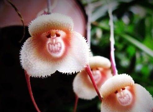 猴面小龙兰